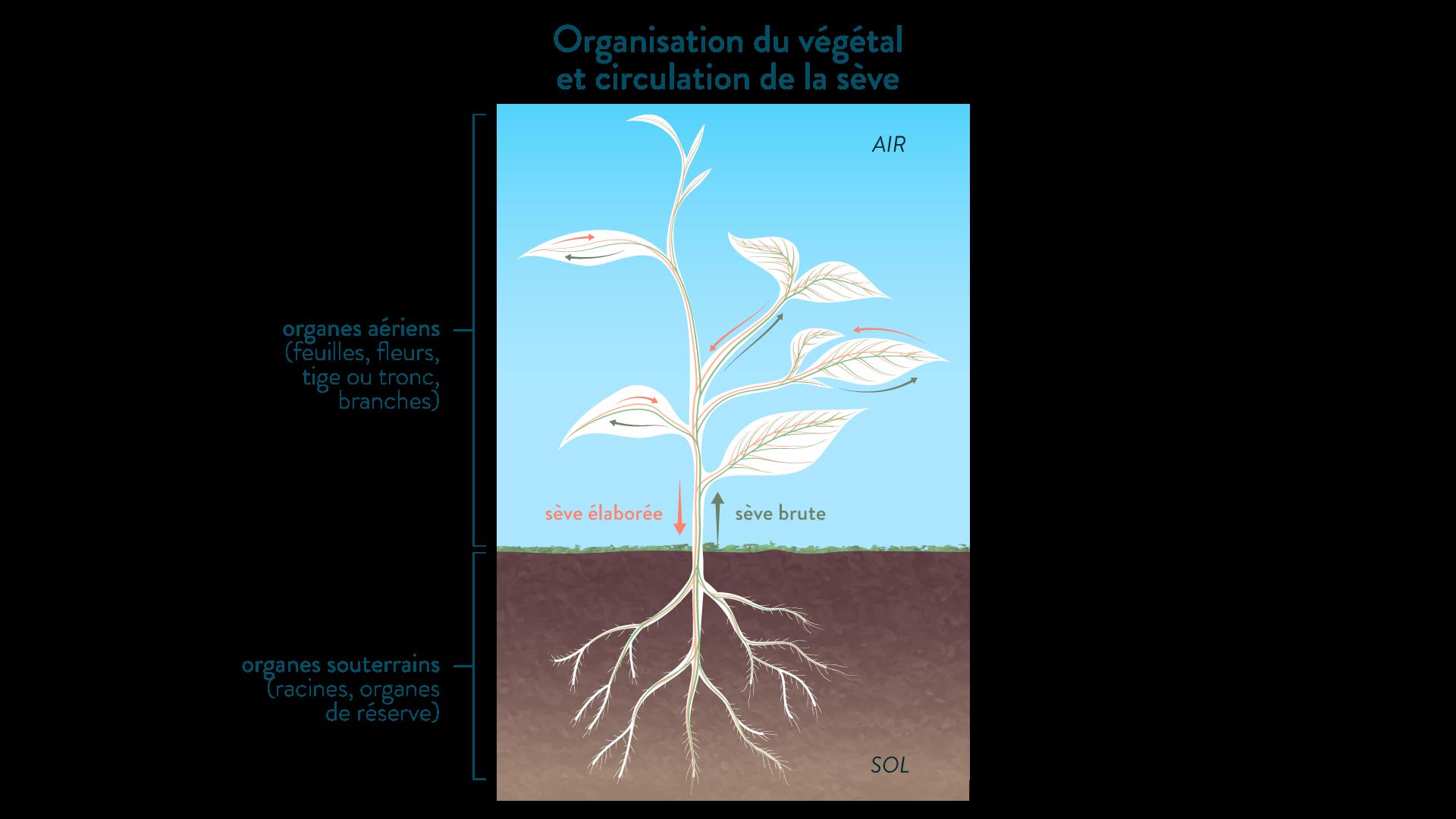 Organisation du végétal et circulation de la sève