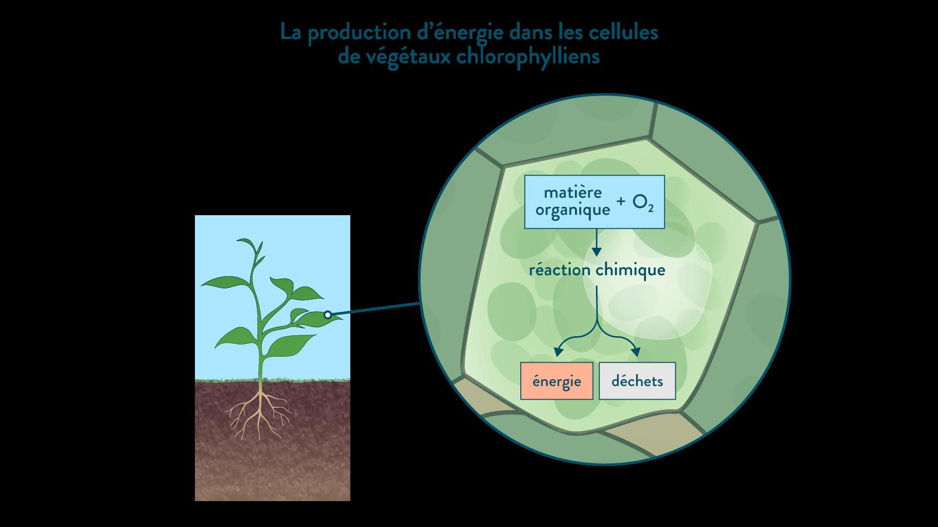 La production d'énergie dans les cellules chez les végétaux chlorophylliens