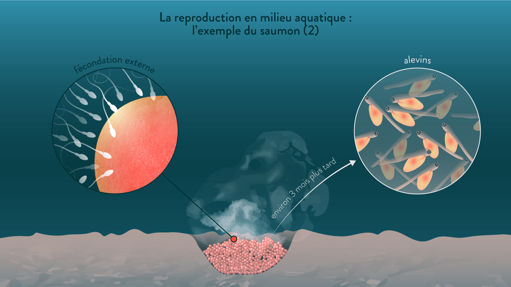 La reproduction en milieu aquatique : exemple du saumon
