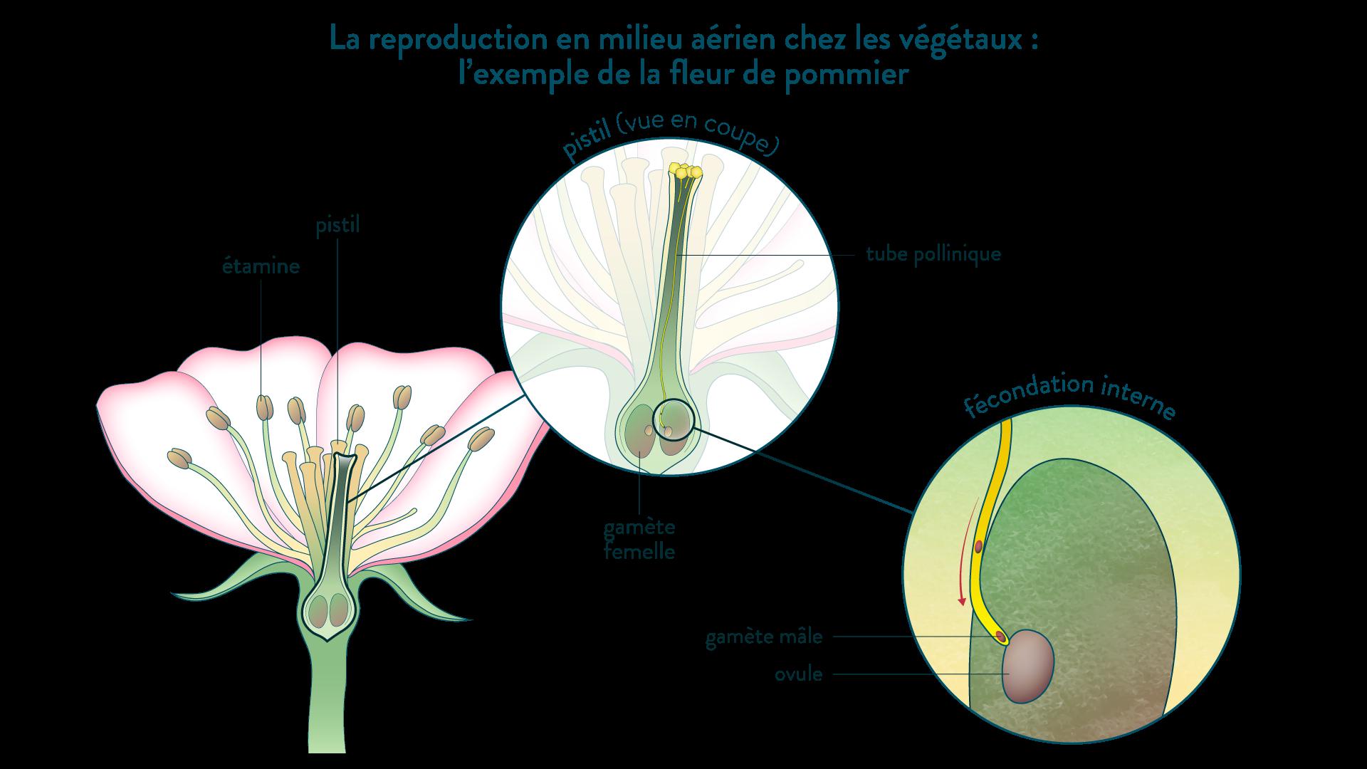 La reproduction en milieu aérien chez les plantes à fleur, exemple de la fleur de pommier