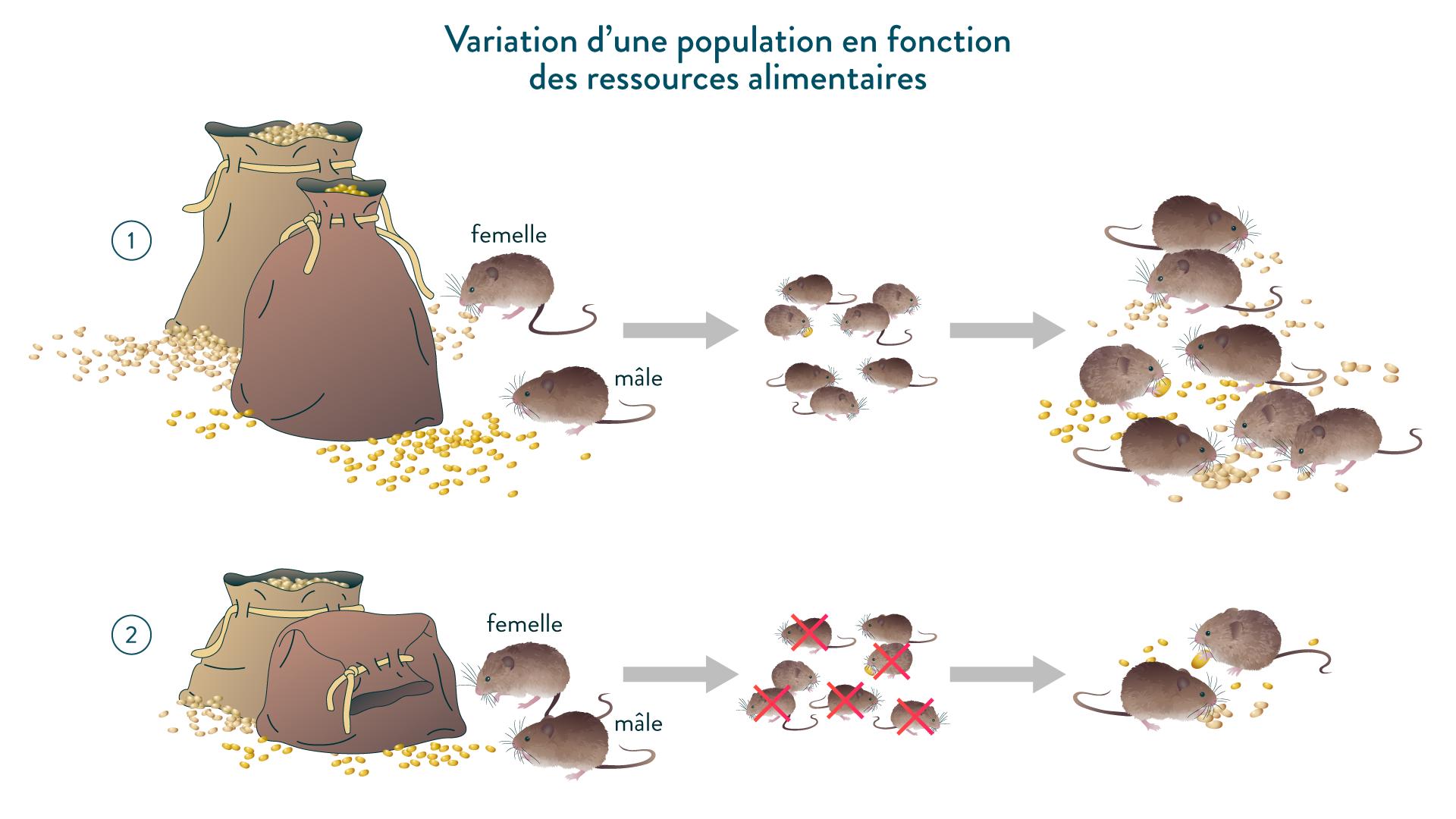 Variation d'une population en fonction des ressources alimentaires chez le campagnol
