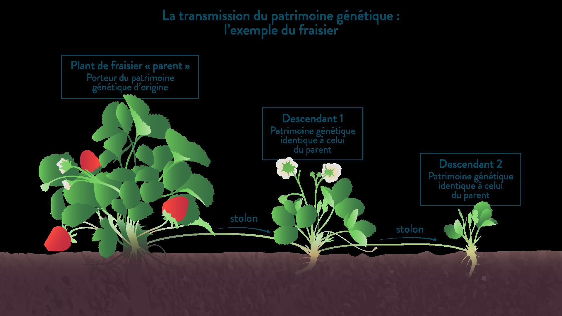 La transmission du patrimoine génétique chez le fraisier