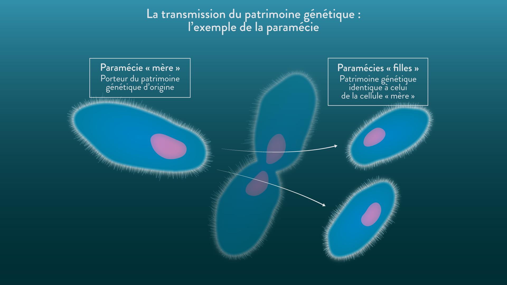 La transmission du patrimoine génétique par la reproduction asexuée
