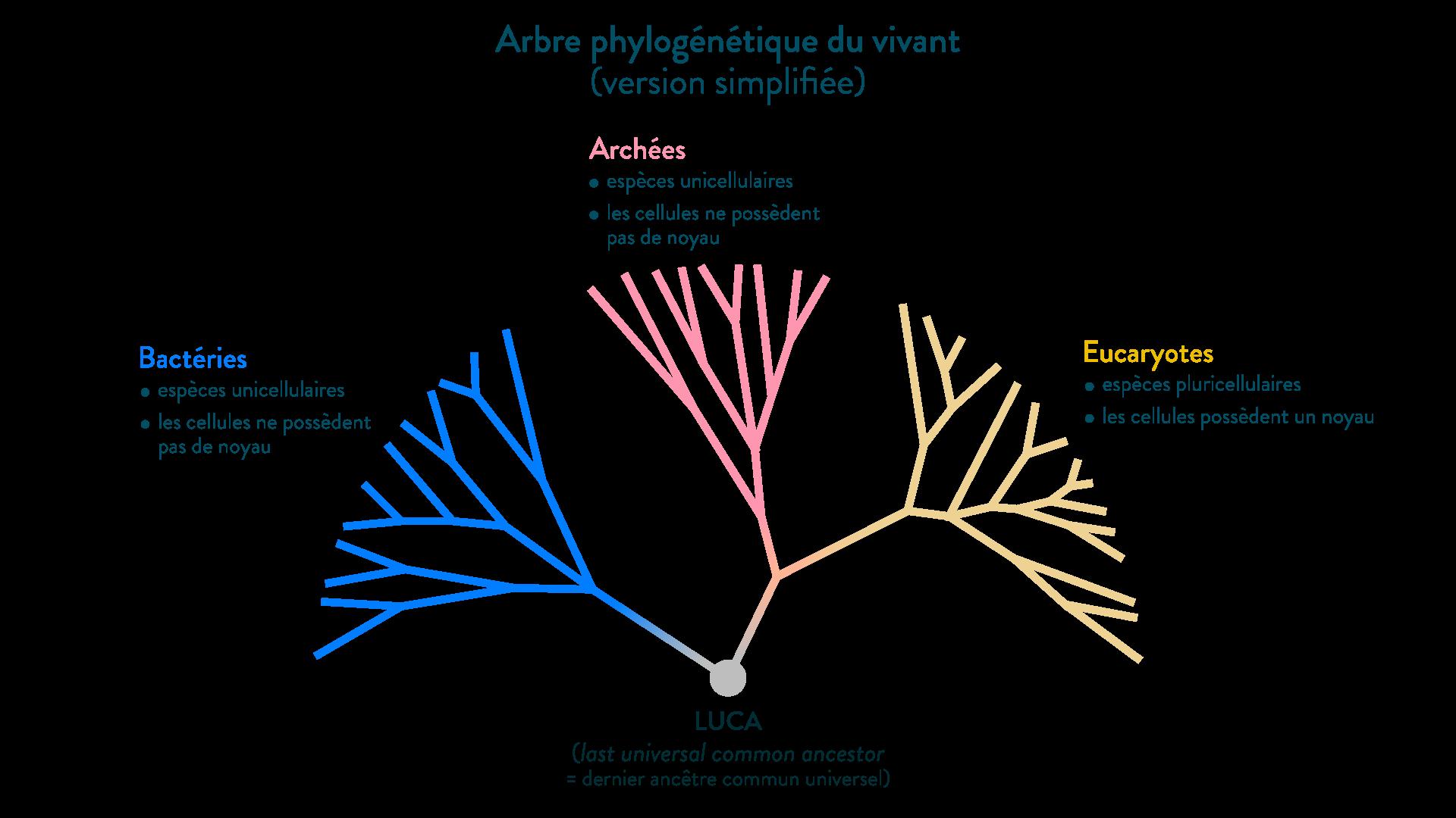 L'arbre phylogénétique simplifié du vivant