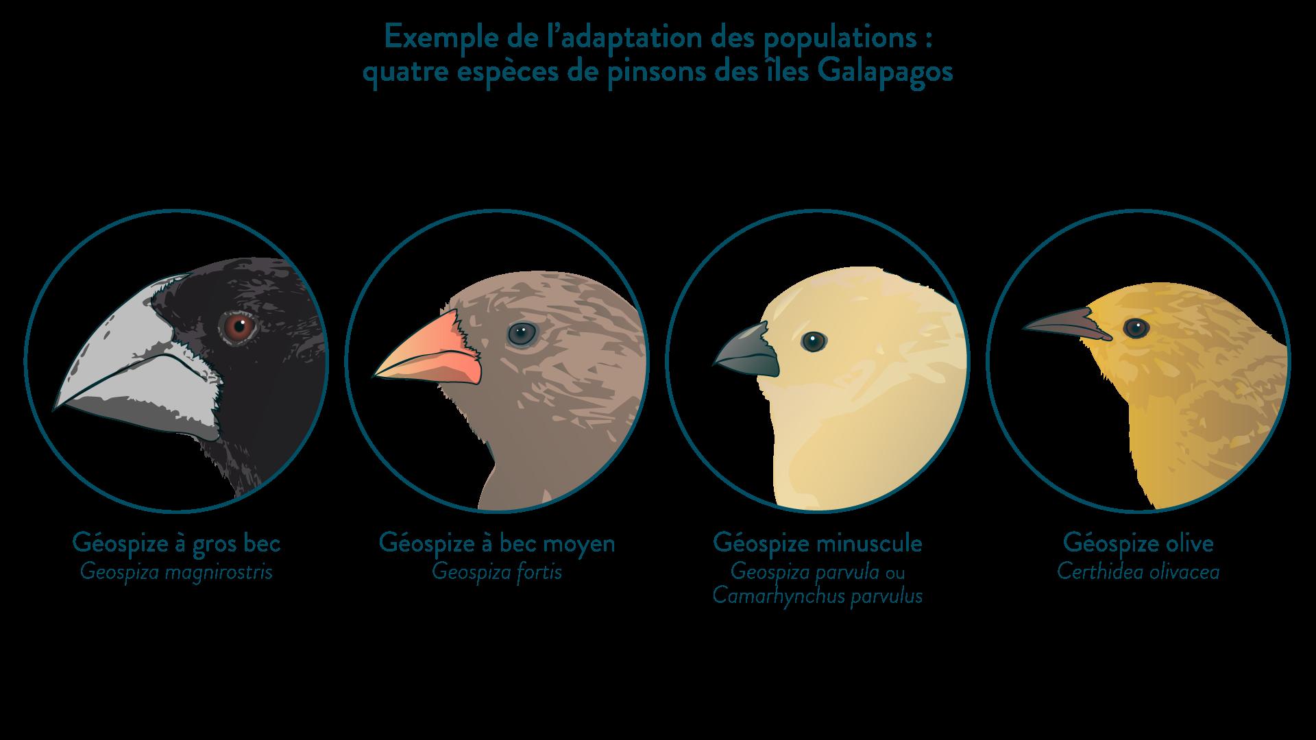 Exemples de quatre espèces de pinsons des îles Galápagos