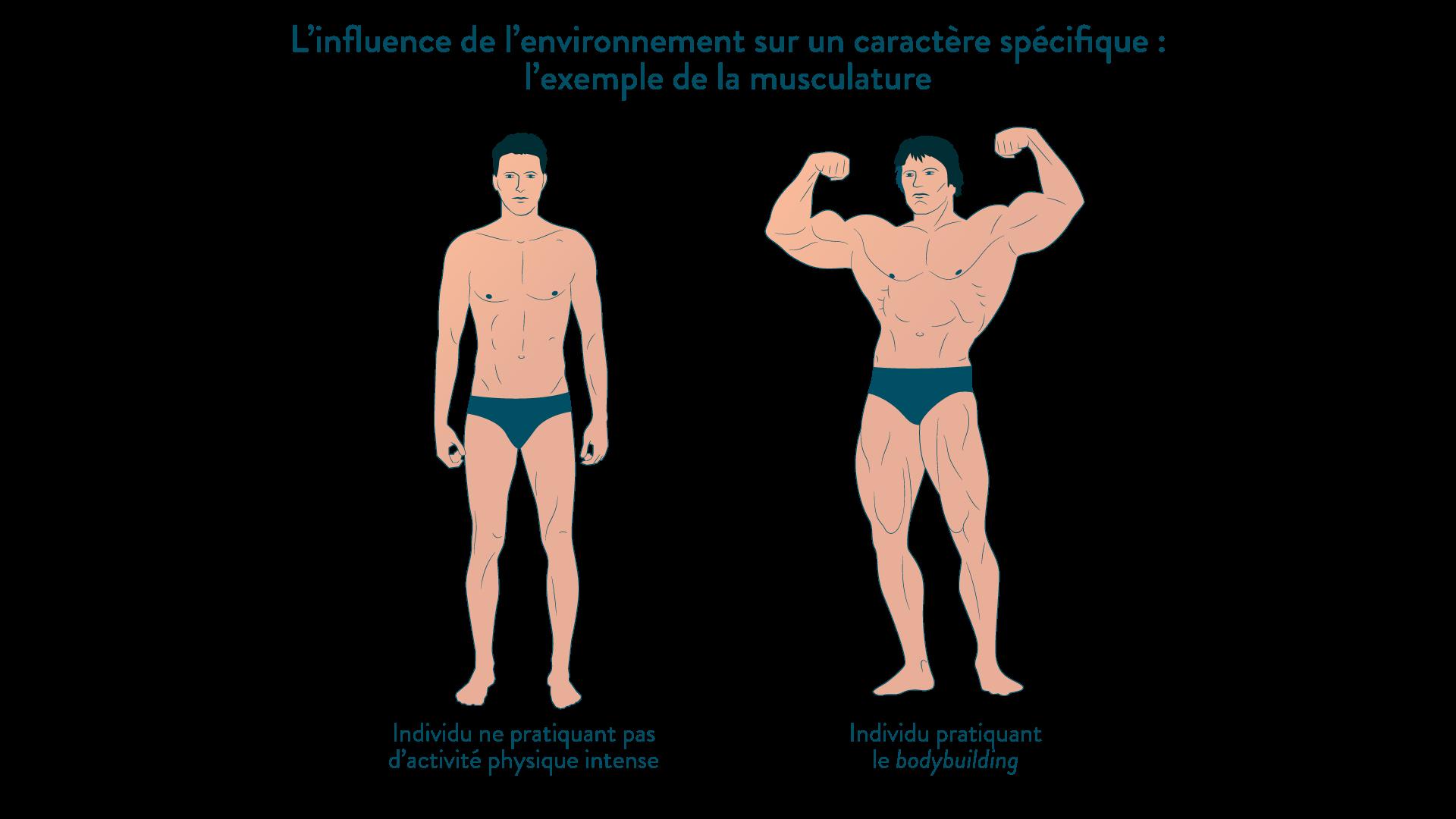 L'influence de l'environnement sur un caractère spécifique : l'exemple de la musculature