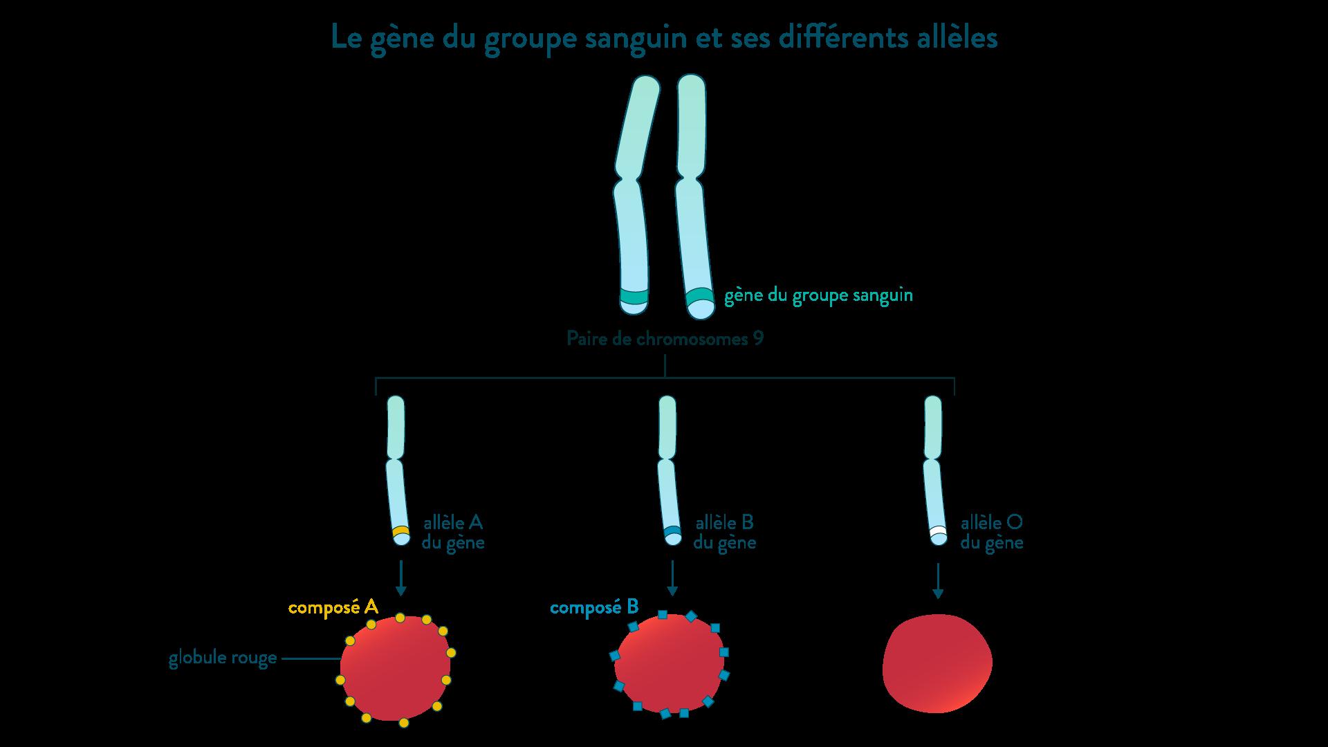 Le gène du groupe sanguin et ses différents allèles