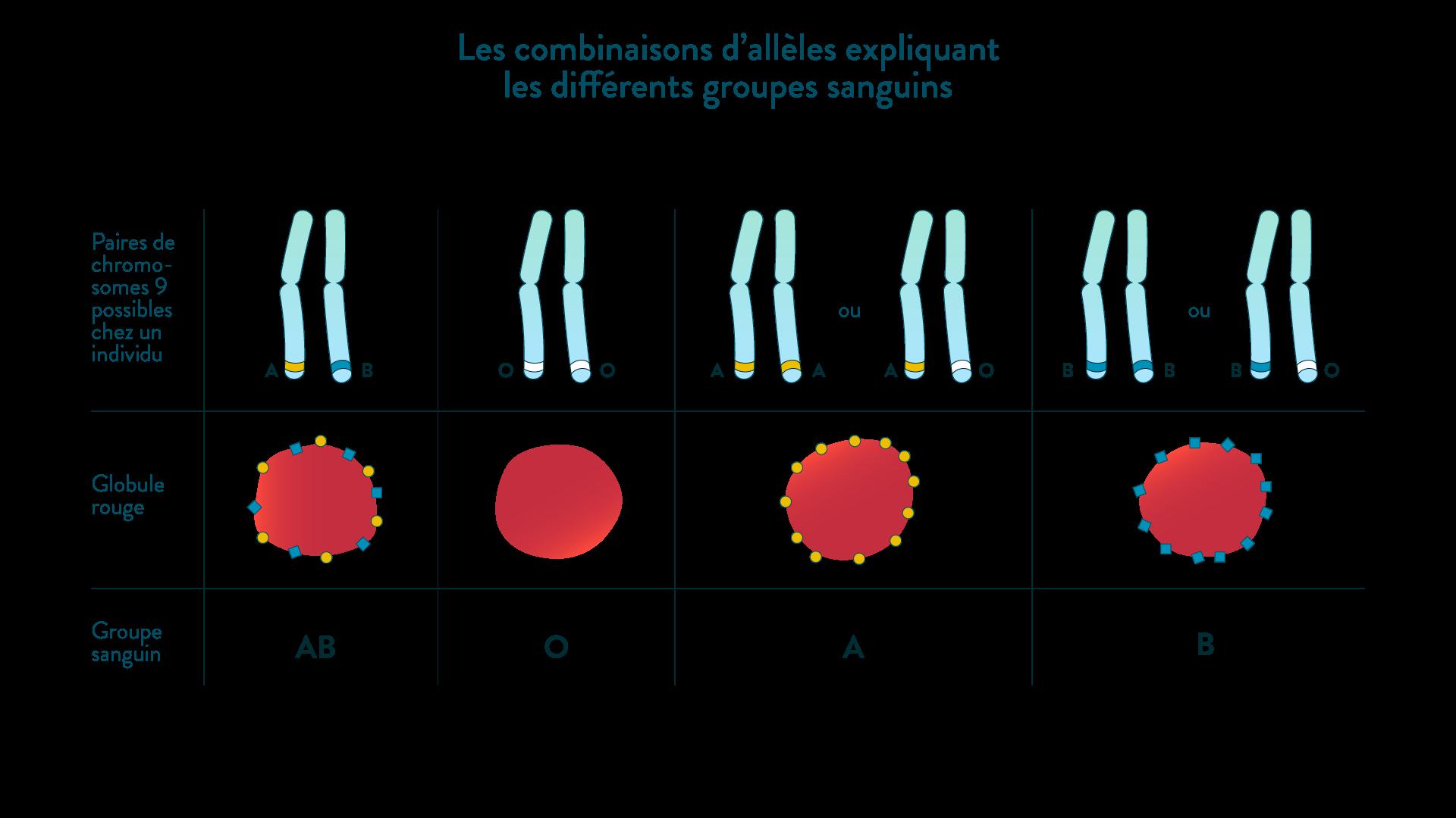 Les allèles du groupe sanguin expliquent les différents groupes sanguins existant.