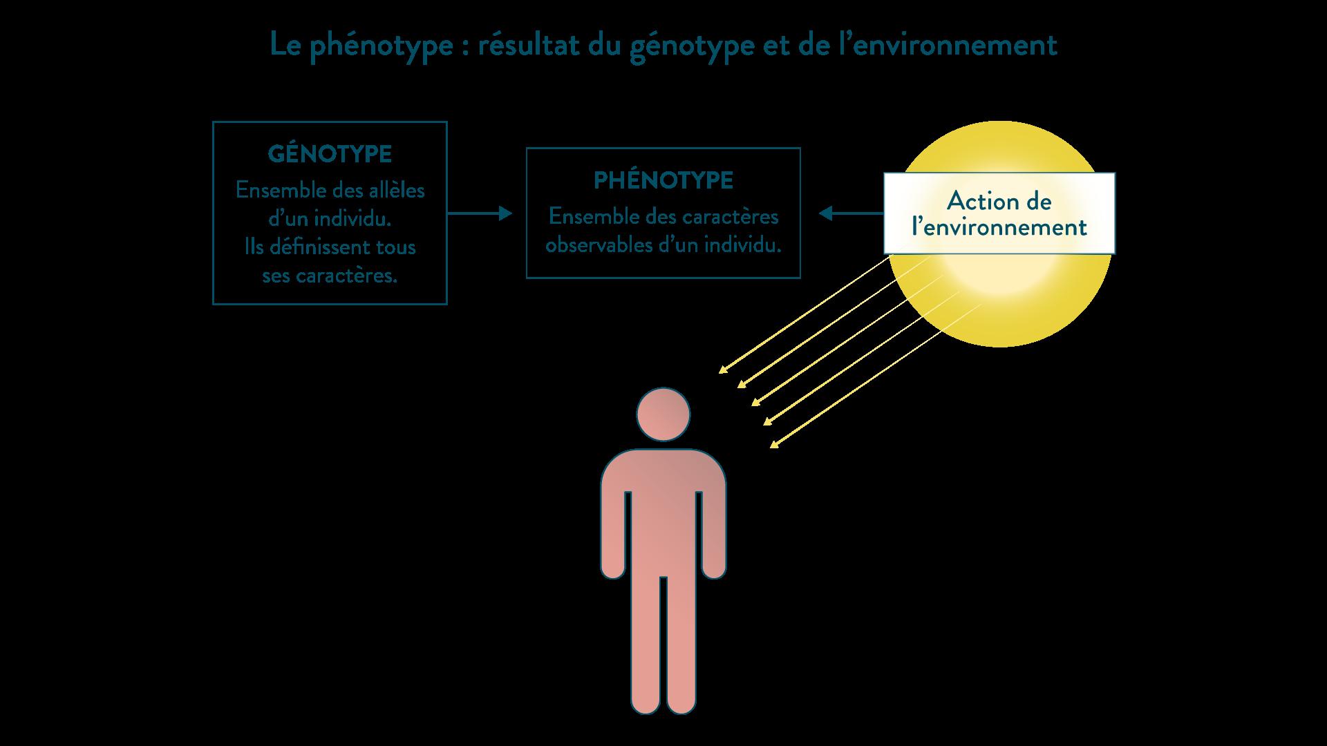 Le phénotype : résultat du génotype et de l'environnement