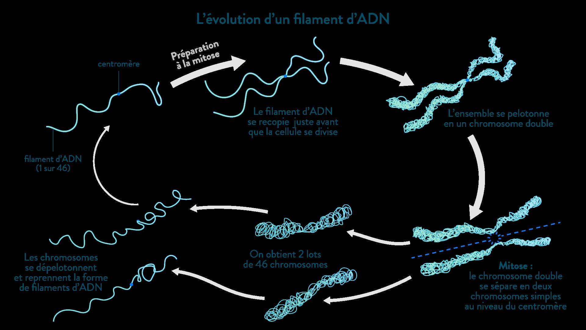 L'évolution d'un filament d'ADN juste avant et pendant la division cellulaire