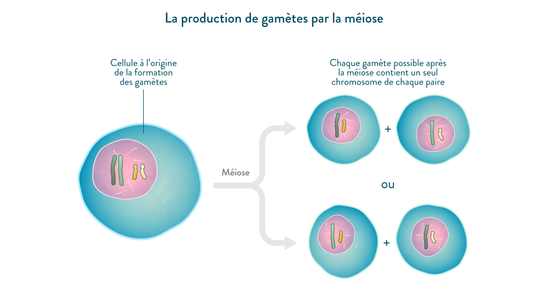 La production de gamètes par la méiose