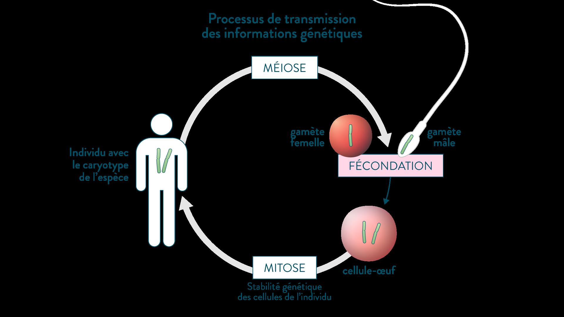 Processus de transmission des informations génétiques