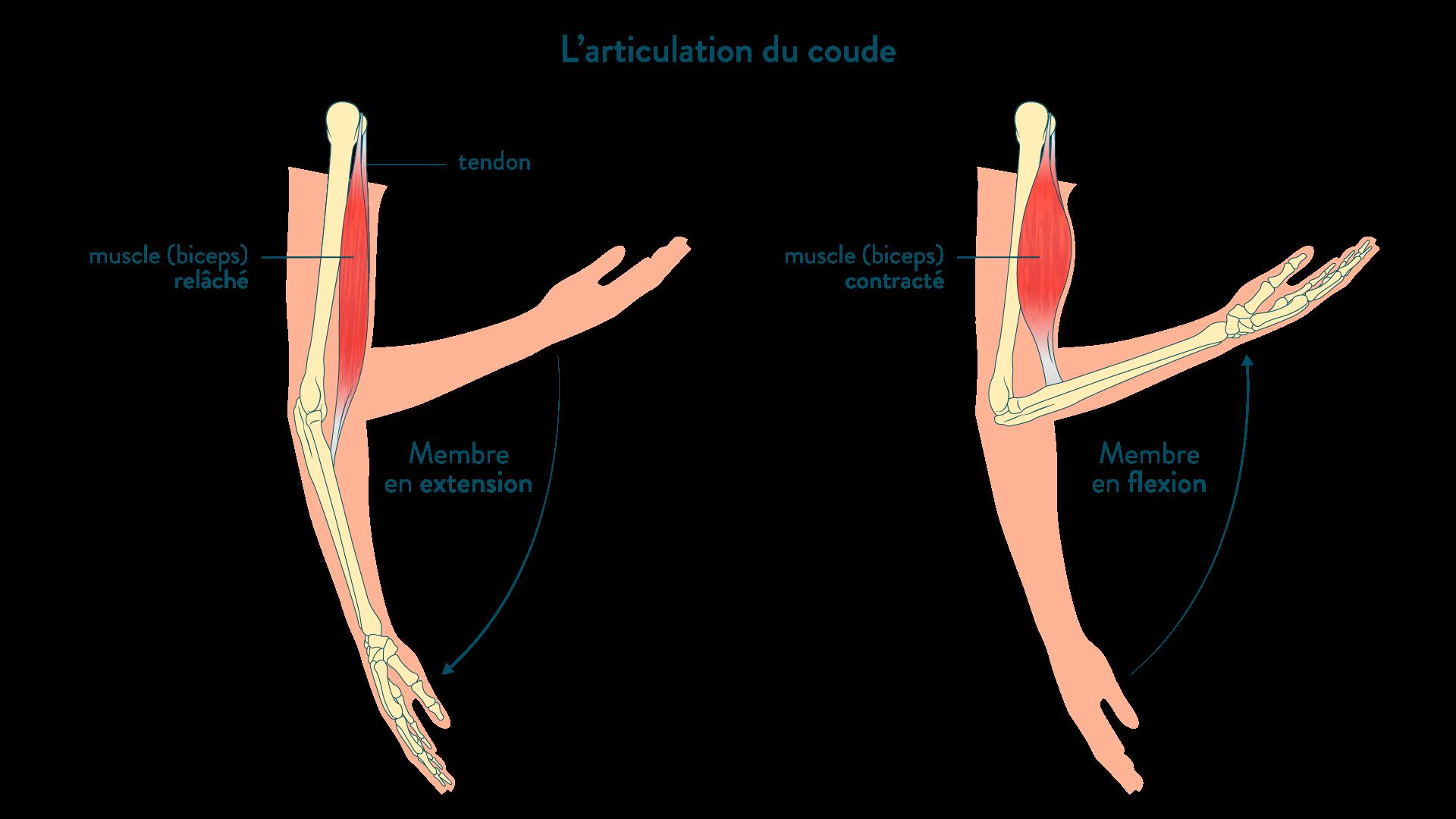 l'articulation du coude en flexion ou en extension