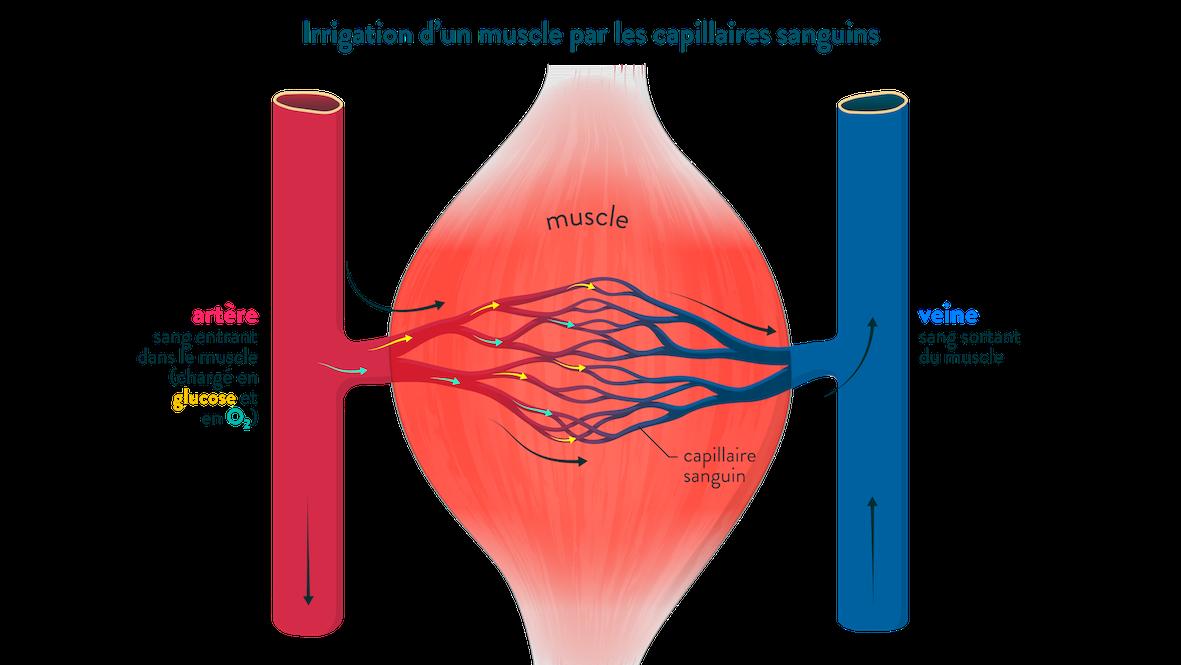 Irrigation d'un muscle par les capillaires sanguins