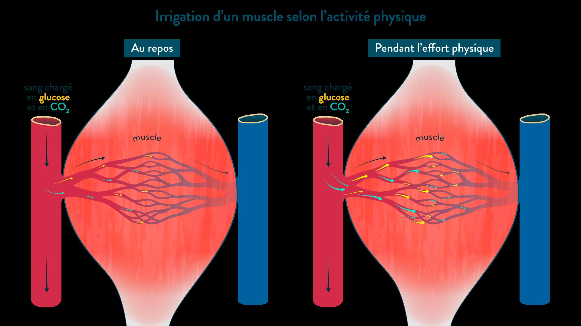 Irrigation d'un muscle, au repos et pendant l'effort