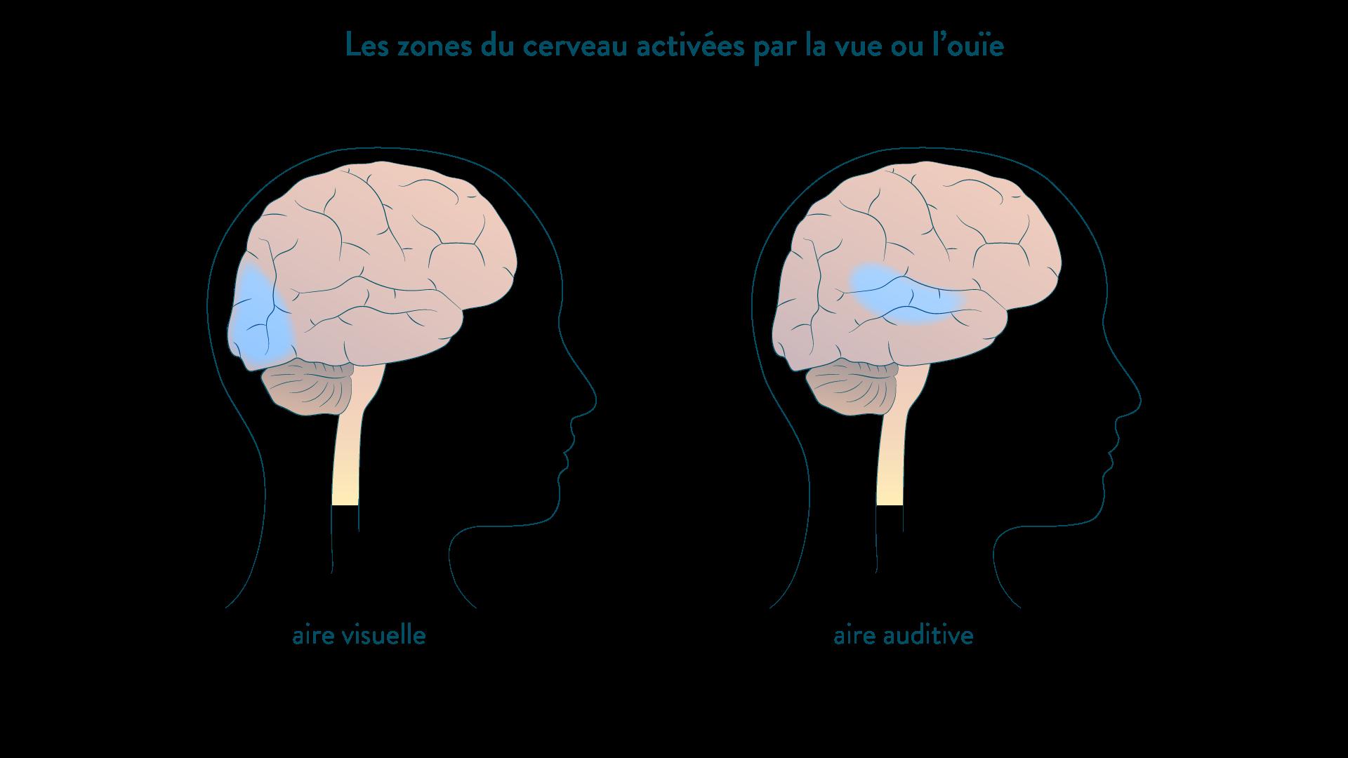 Zones du cerveau activées après la perception d'un élément de l'environnement par la vue ou par l'ouïe