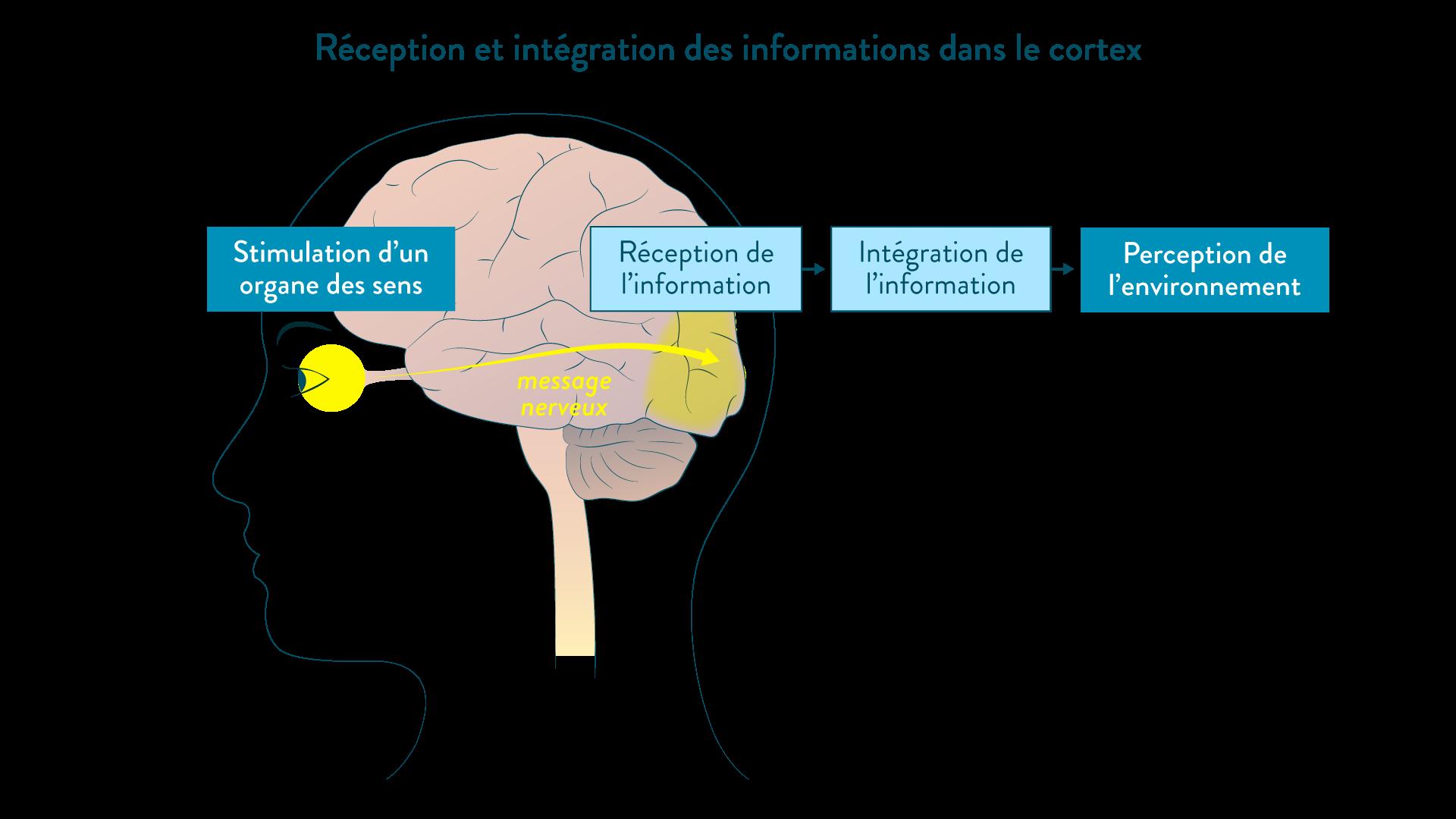Réception et intégration des informations dans le cortex après qu'un organe des sens ait été stimulé