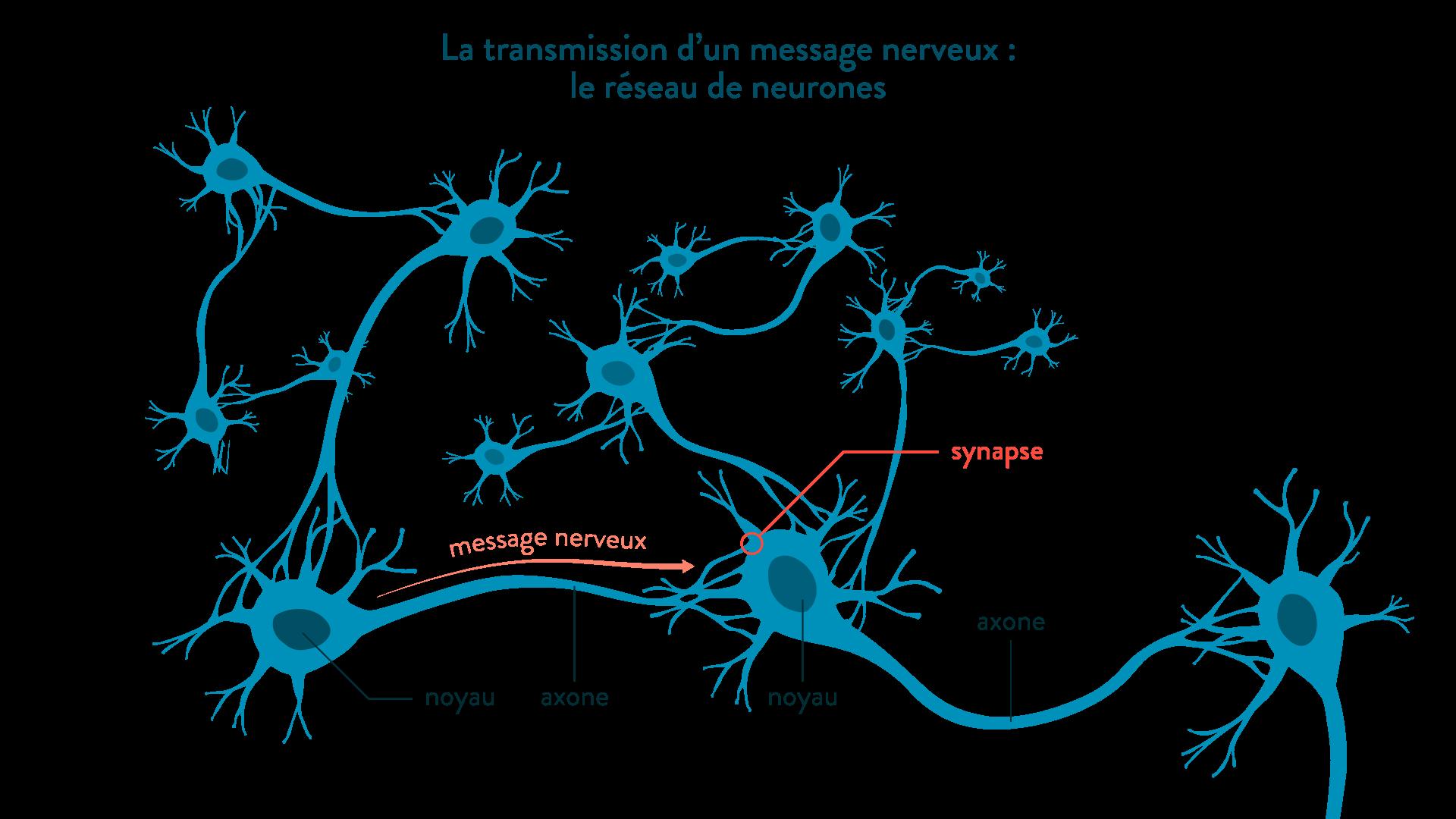 La transmission d'un message nerveux, le réseau de neurones