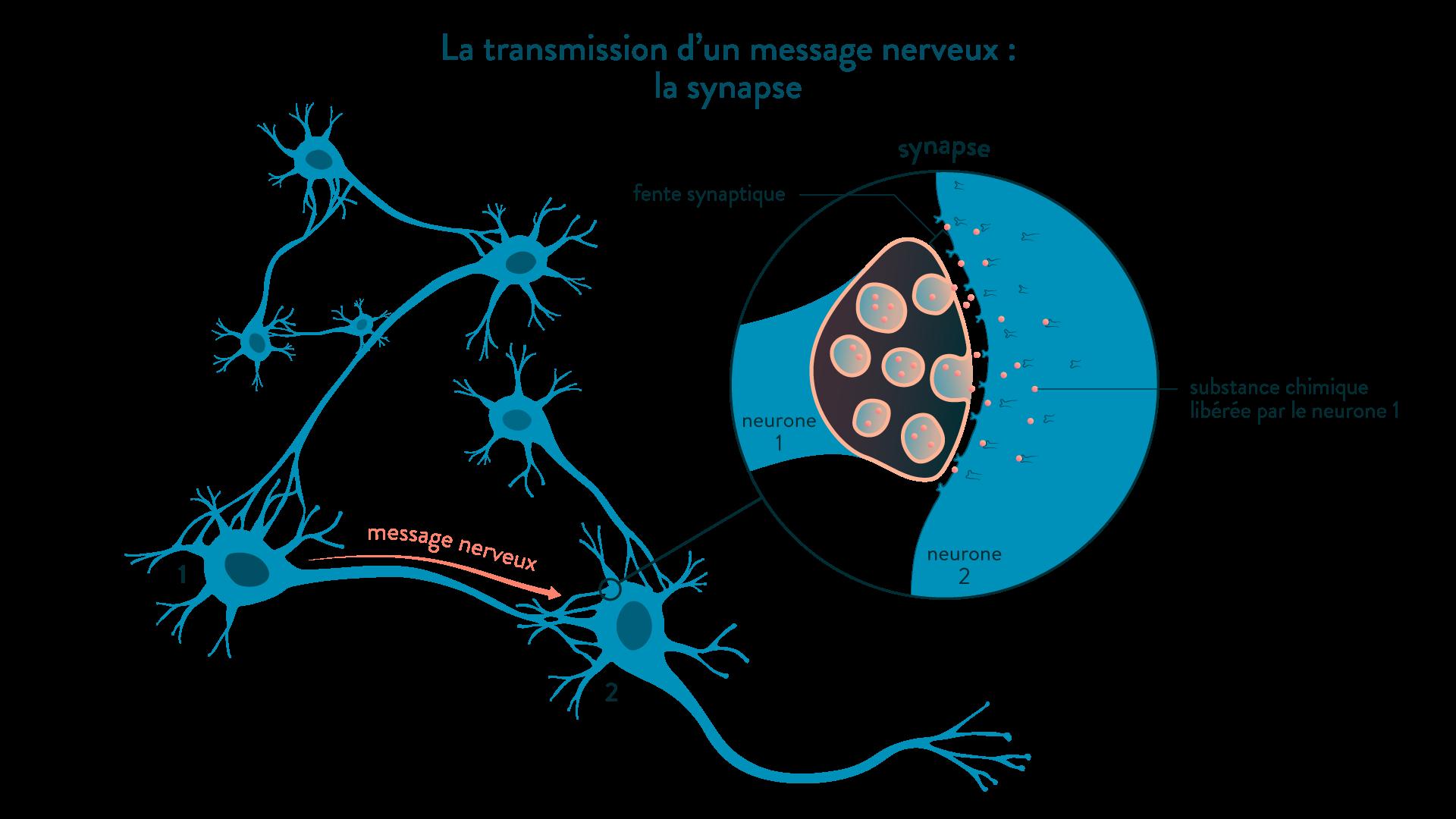 Transmission du message nerveux entre deux neurones, au niveau d'une synapse