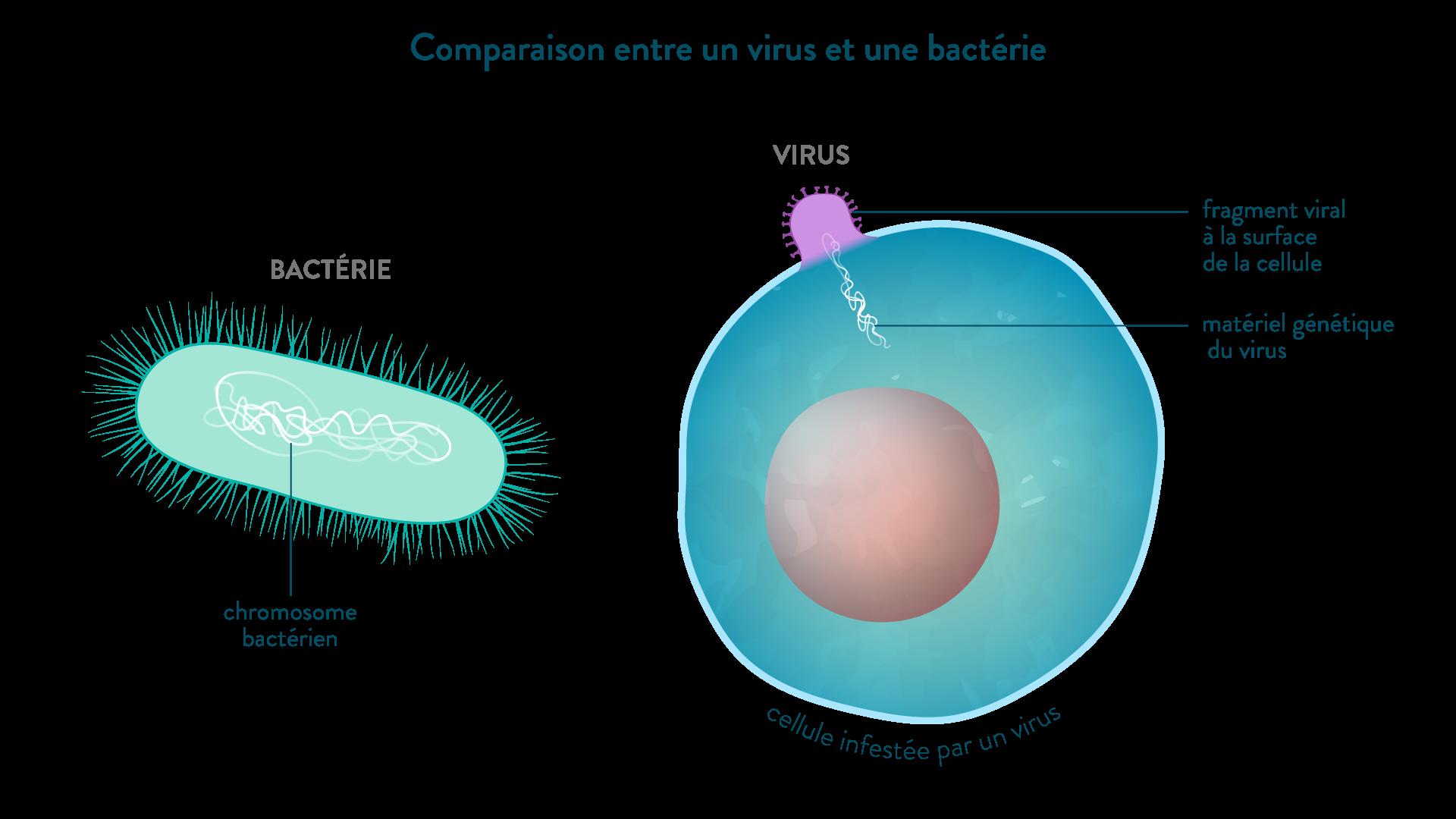 Comparaison entre virus et bactérie