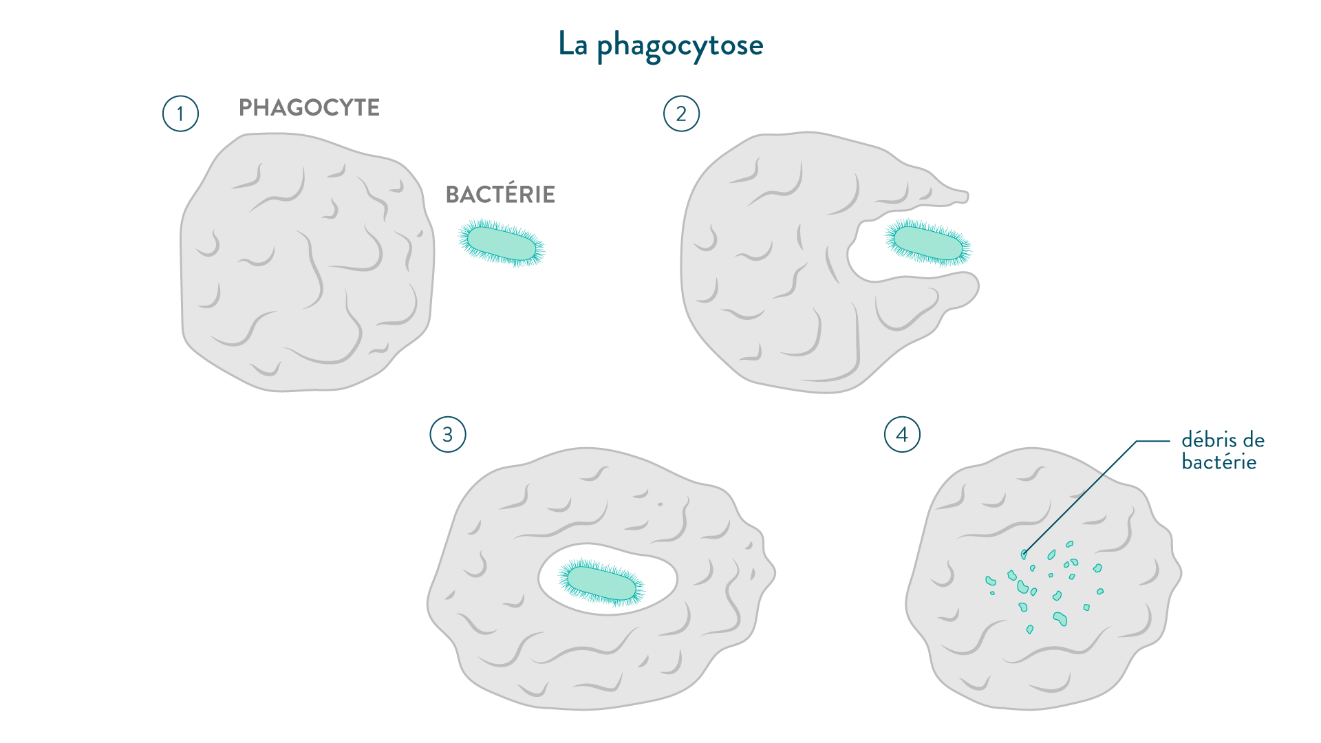 La phagocytose