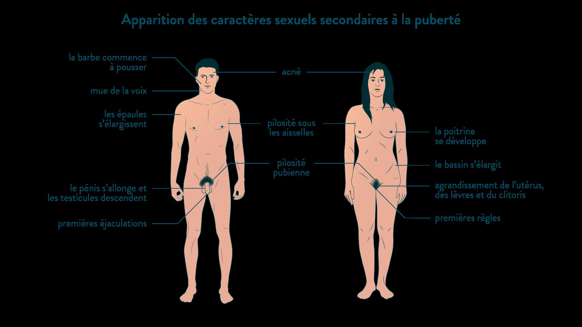 Apparition des caractères sexuels secondaires à la puberté
