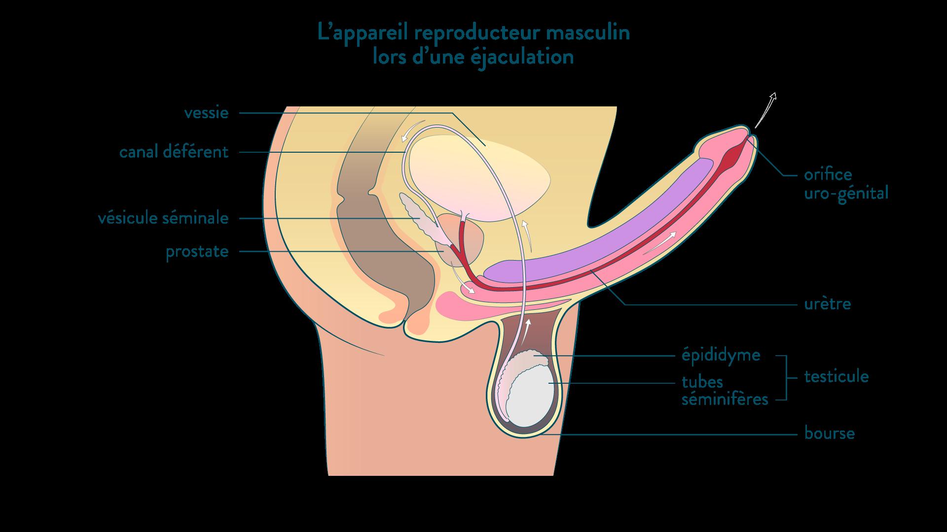 L'appareil reproducteur masculin lors d'une éjaculation