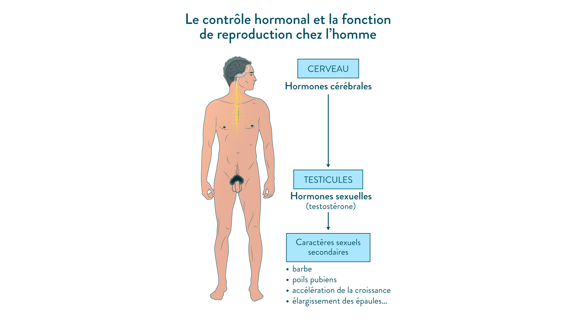 Le contrôle hormonal et la fonction de reproduction chez l'homme