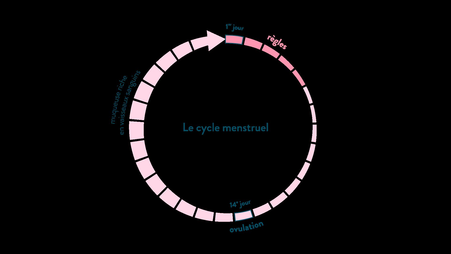 Le cycle menstruel féminin