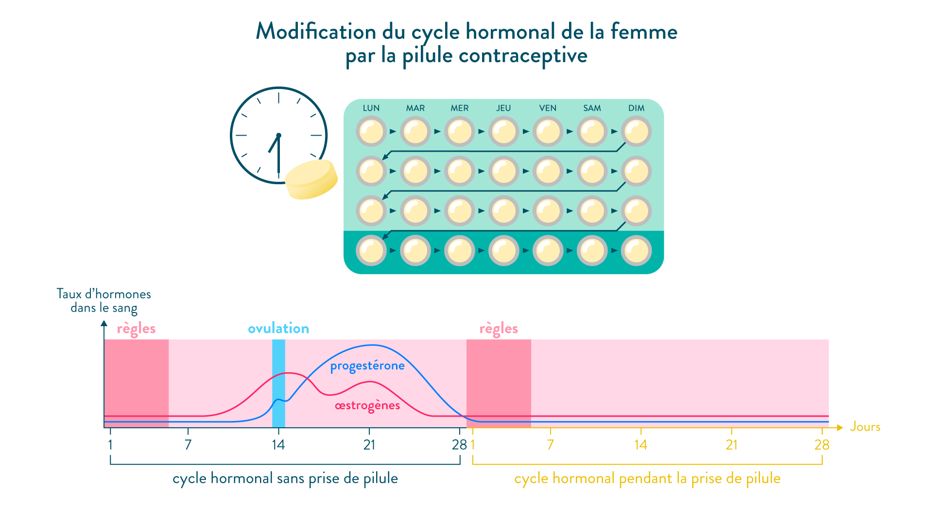 Modification du cycle hormonal de la femme par la pilule contraceptive