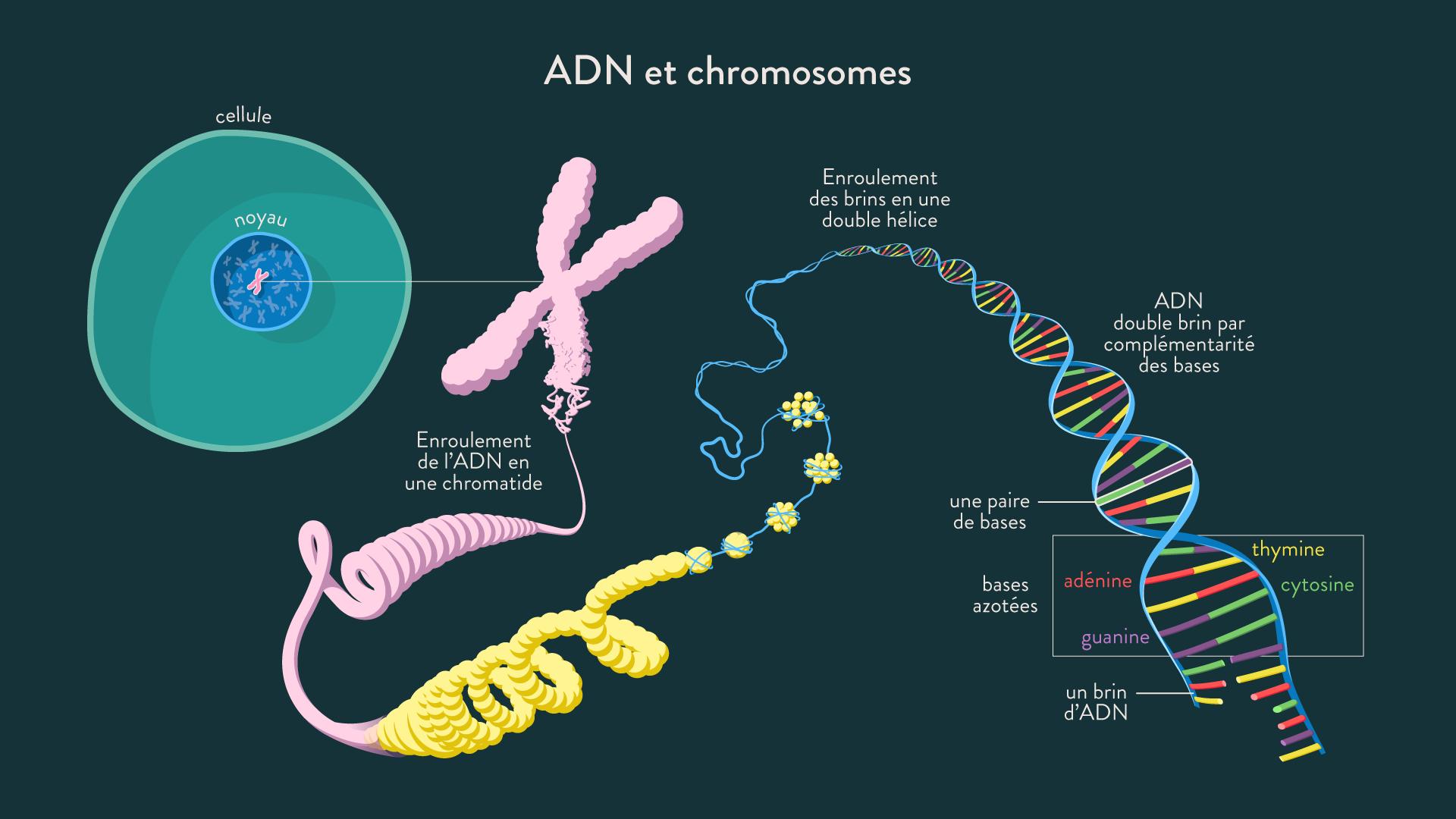 ADN et chromosomes
