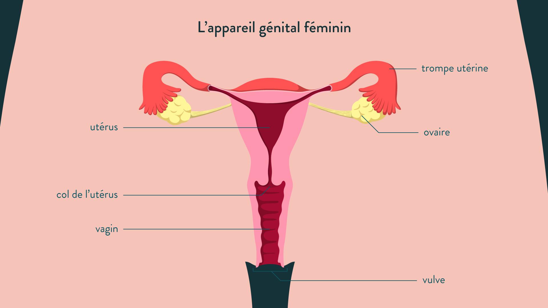 L'appareil génital féminin