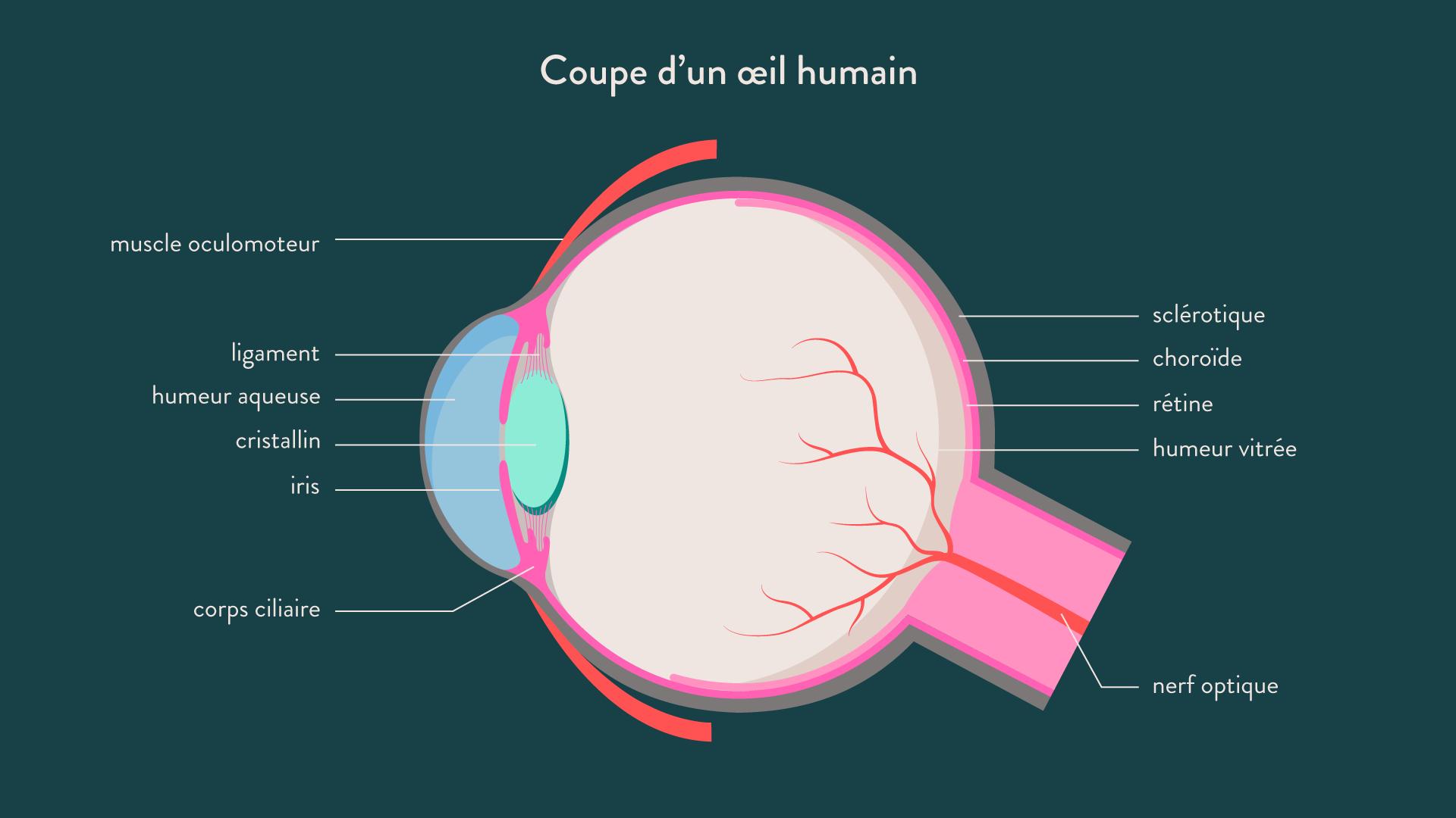 Coupe d'un oeil humain