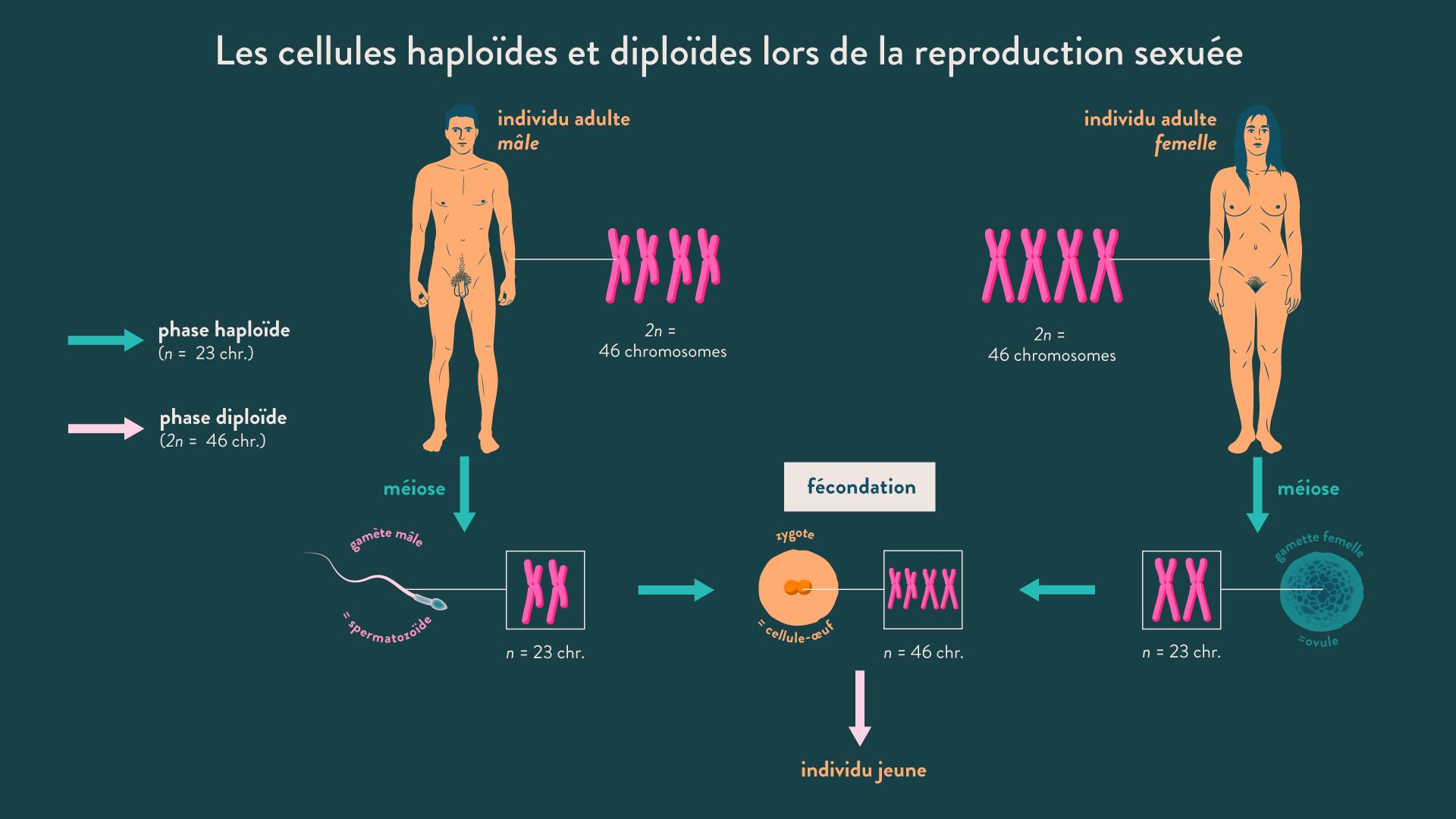 Les cellules haploïdes et diploïdes lors de la reproduction sexuée