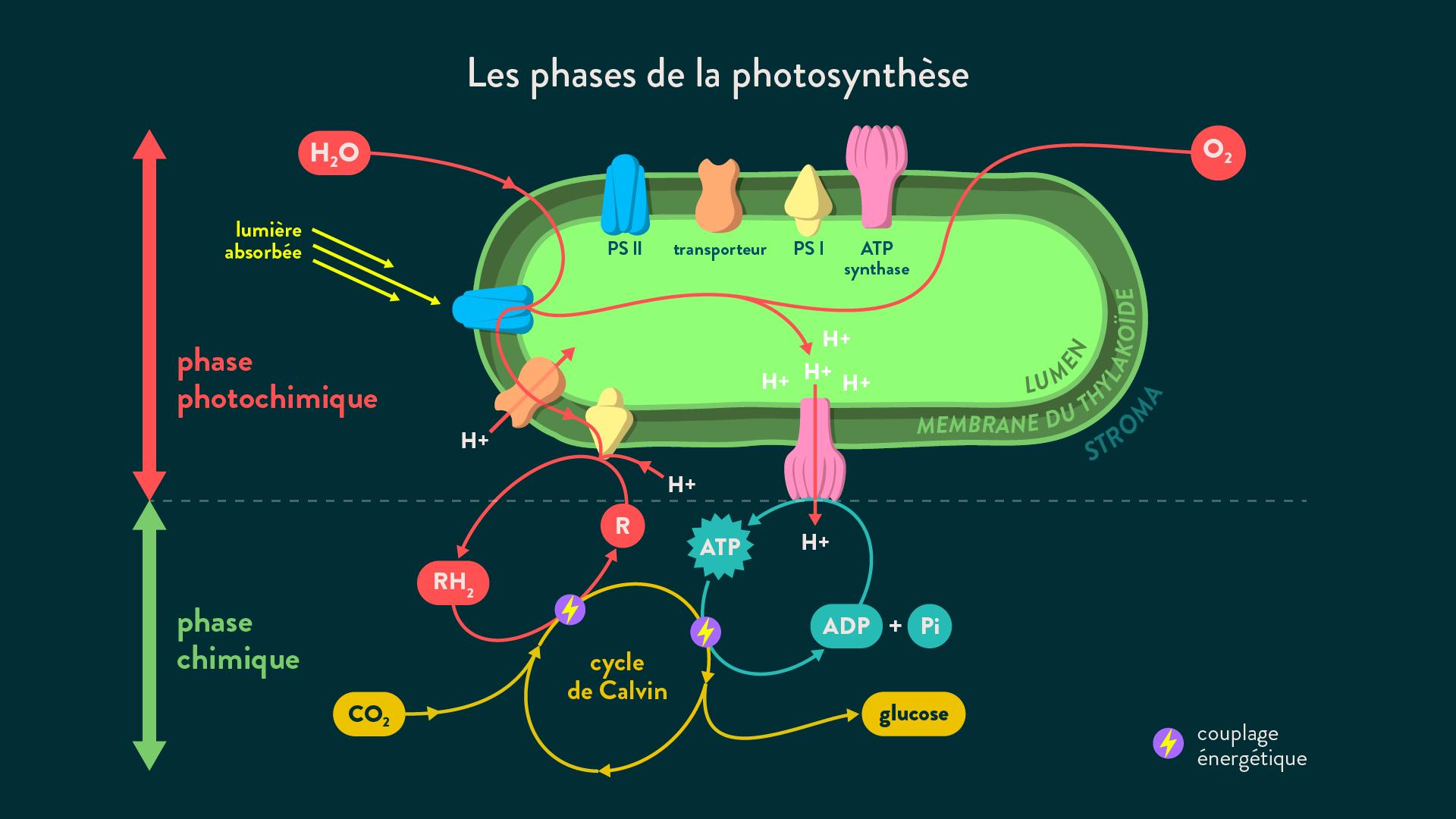 Les phases de la photosynthèse