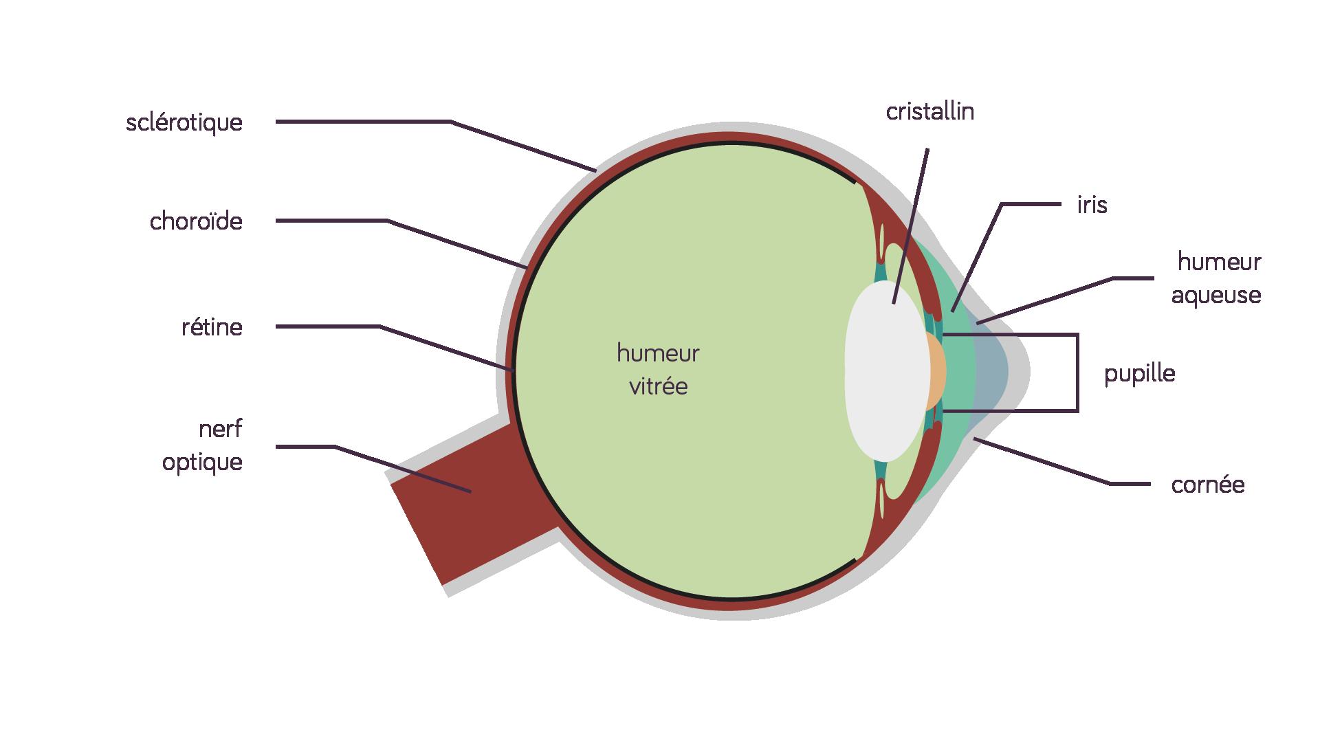 Anatomie de l'œil humain sciences première