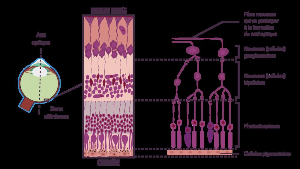 Organisation de la rétine sciences première