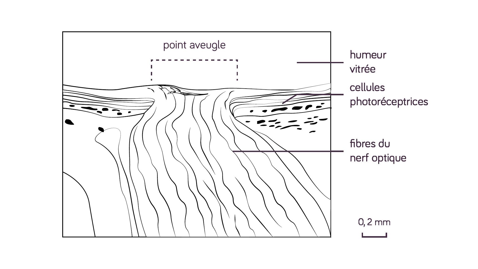 Schéma d'une vue au microscope du départ du nerf optique