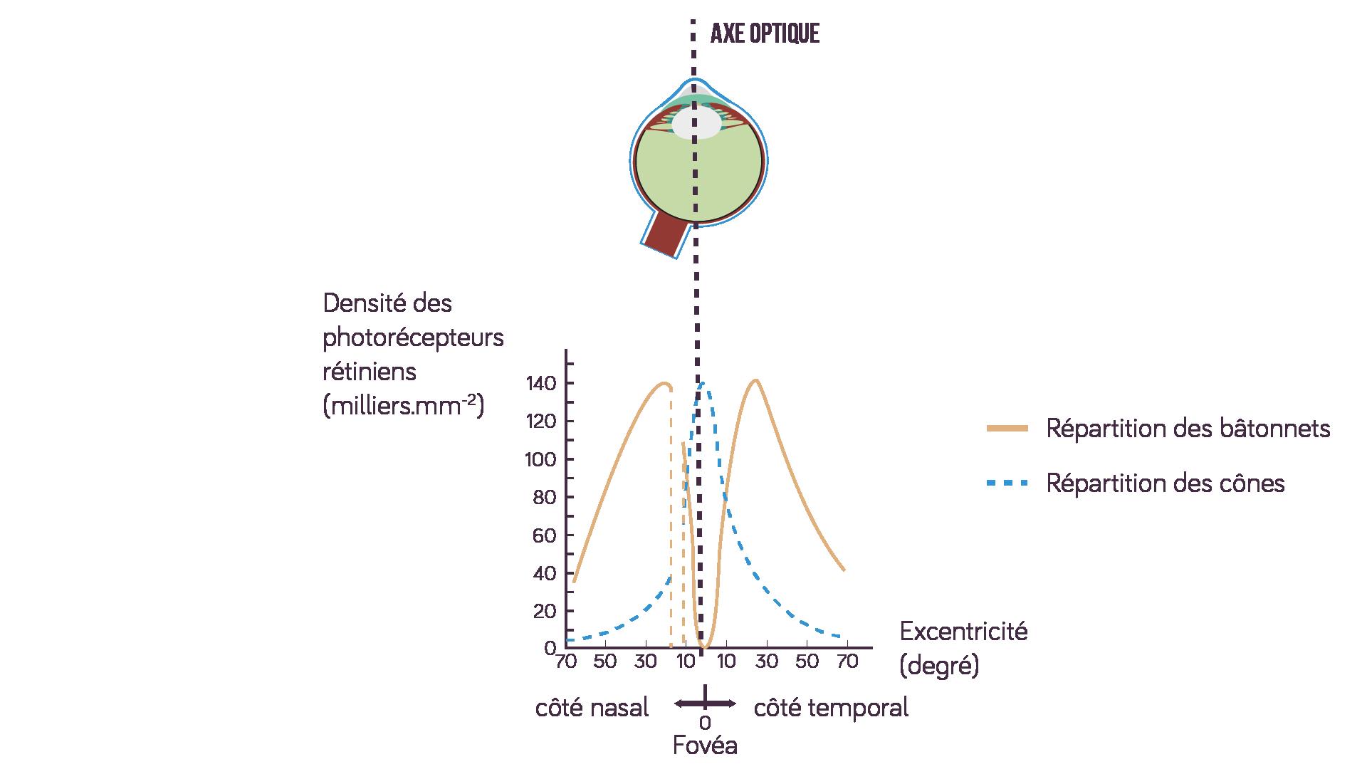 Répartition des cônes et des bâtonnets en fonction de l'excentricité