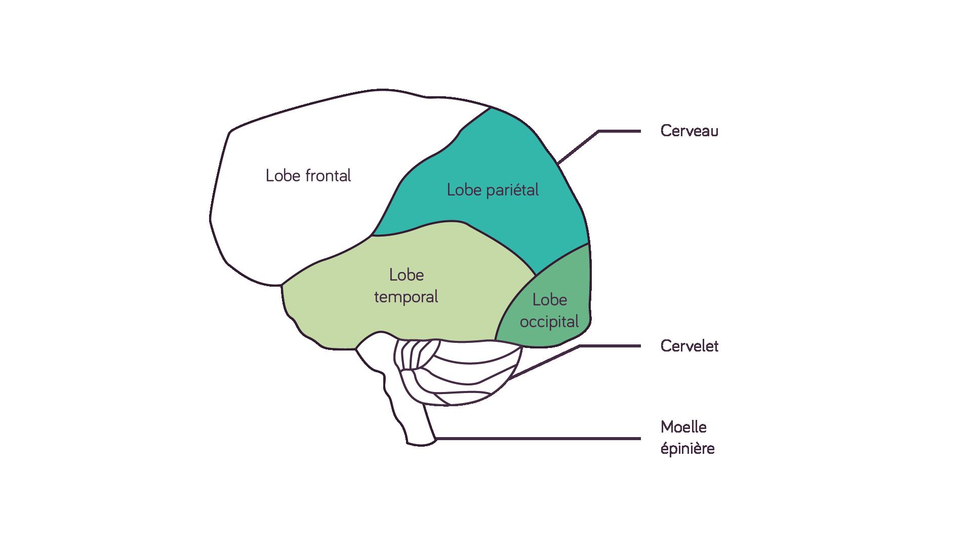 Schéma du cerveau humain sciences première