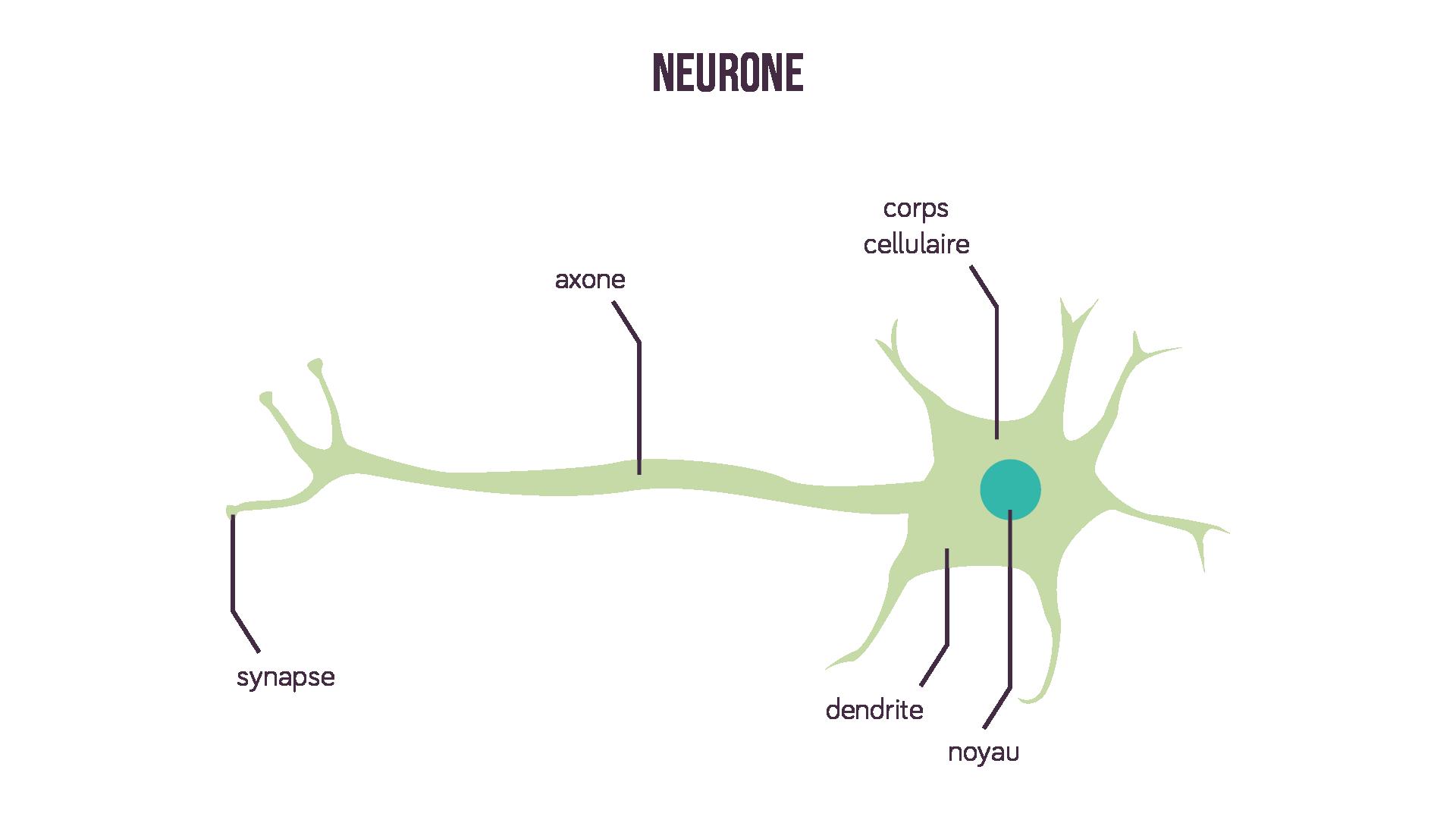 Schéma d'un neurone sciences première