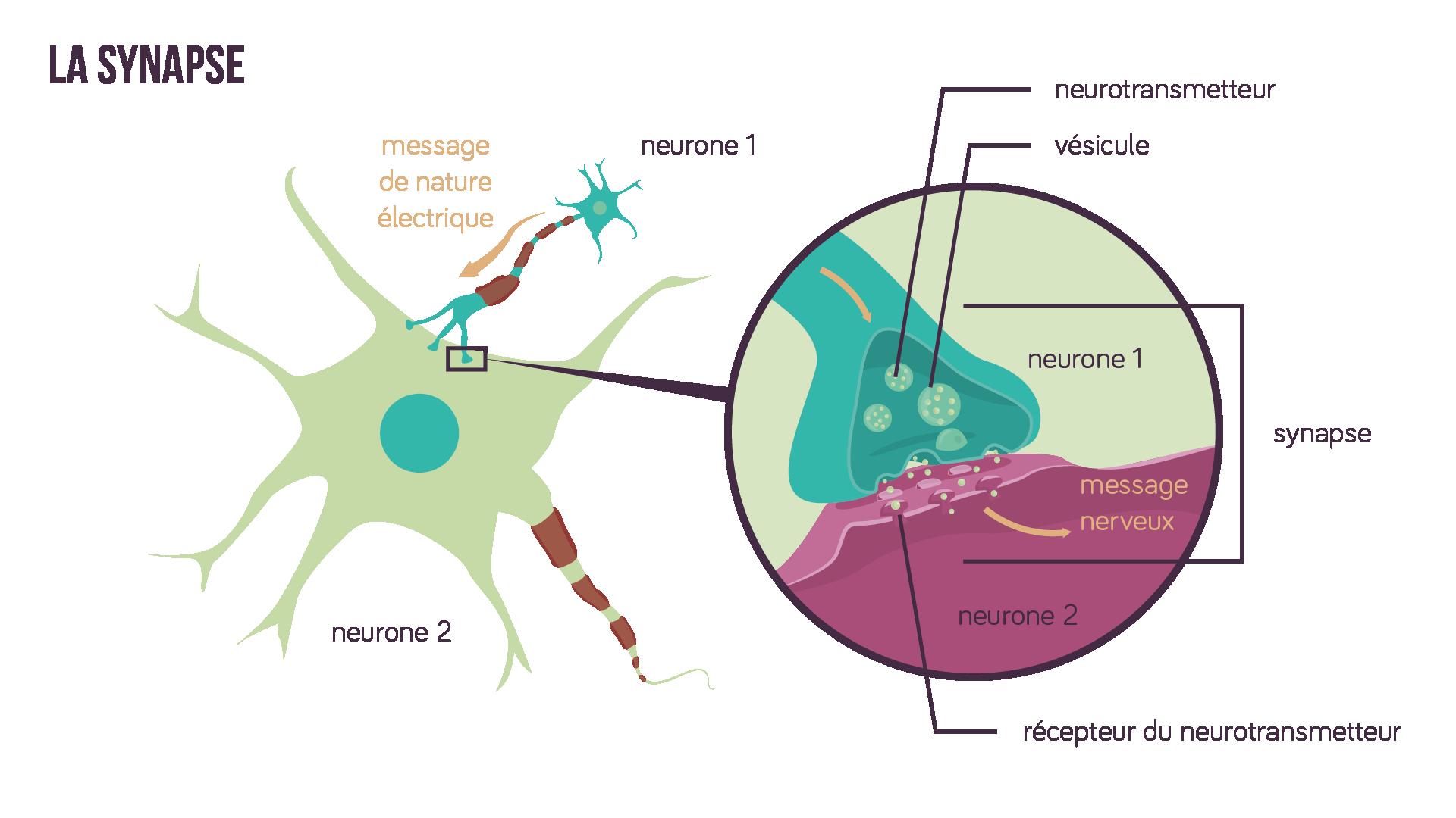 La transmission synaptique