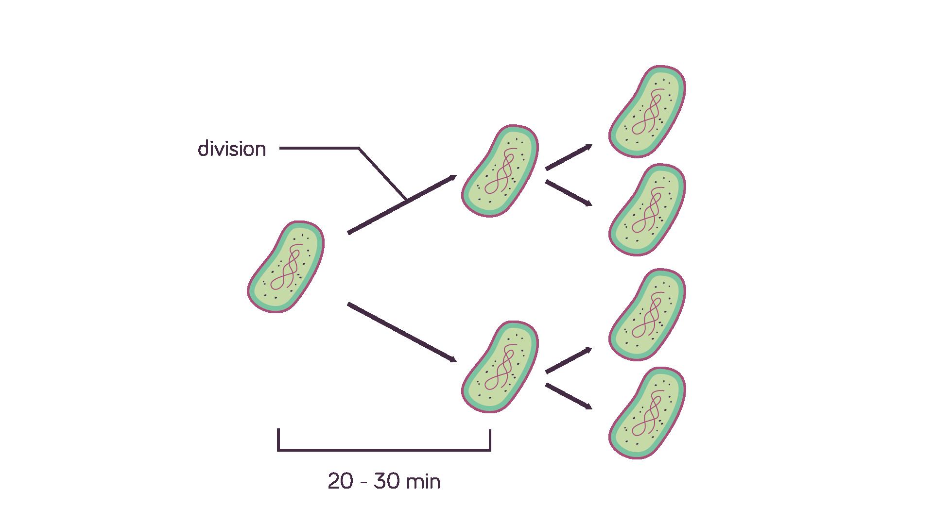 Division cellulaire de bactéries sciences première