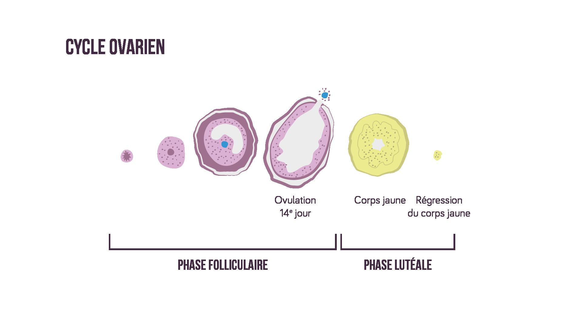 Le cycle ovarien sciences première