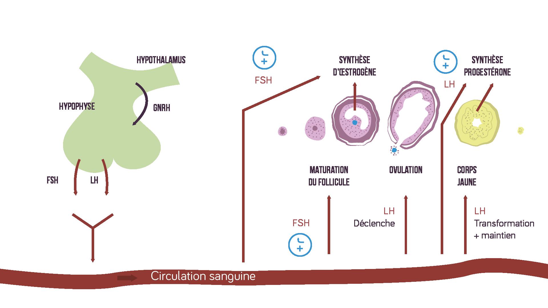 Chemin des hormones sécrétées par l'hypophyse sciences première