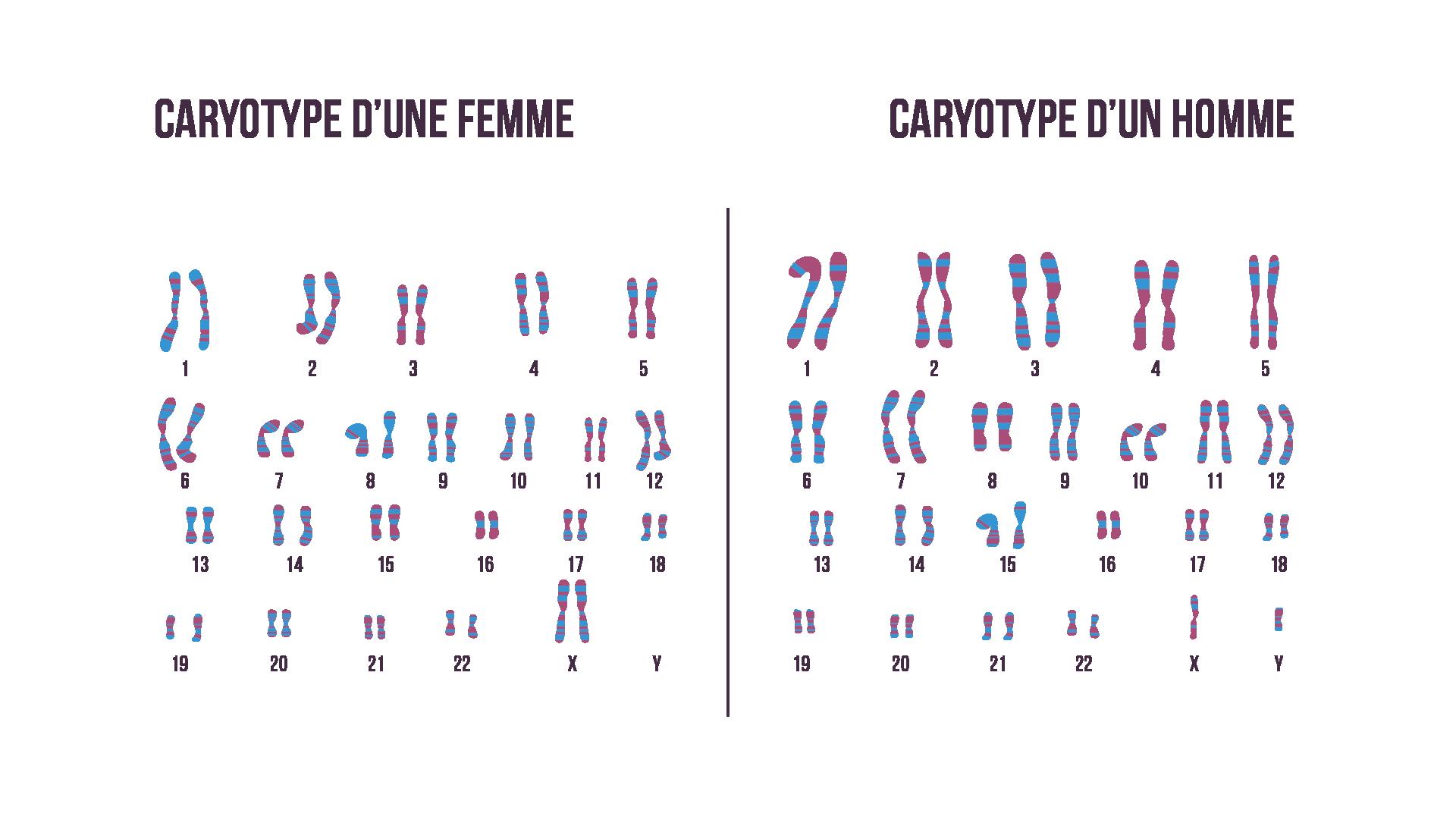 Caryotypes masculin et féminin sciences première