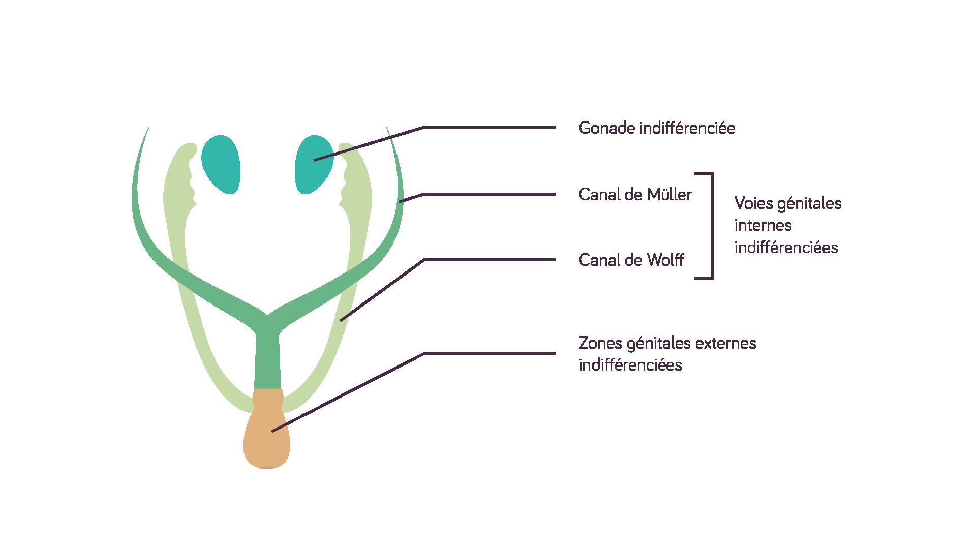 Appareil génital à la 6<sup>e</sup> semaine du développement de l'embryon sciences première