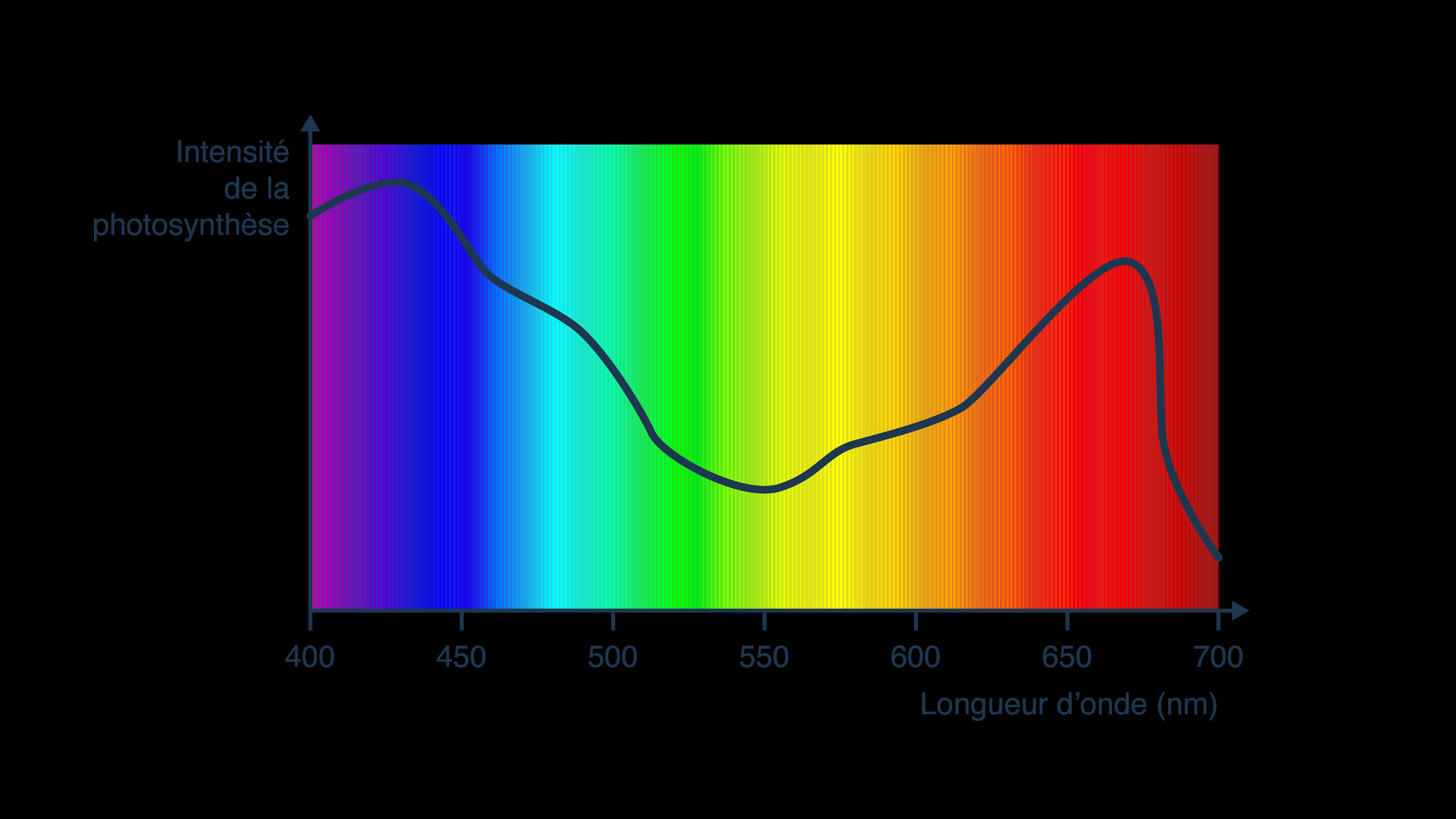 Intensité de la photosynthèse en fonction de la longueur d'ondes