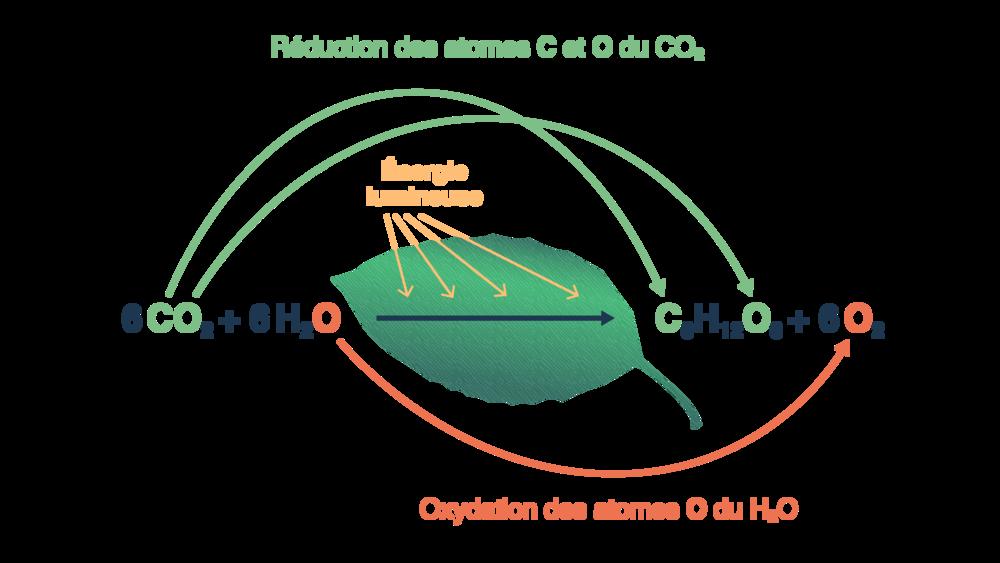 Bilan de la photosynthèse