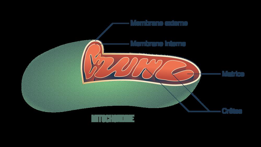 Vue de coupe d'une mitochondrie